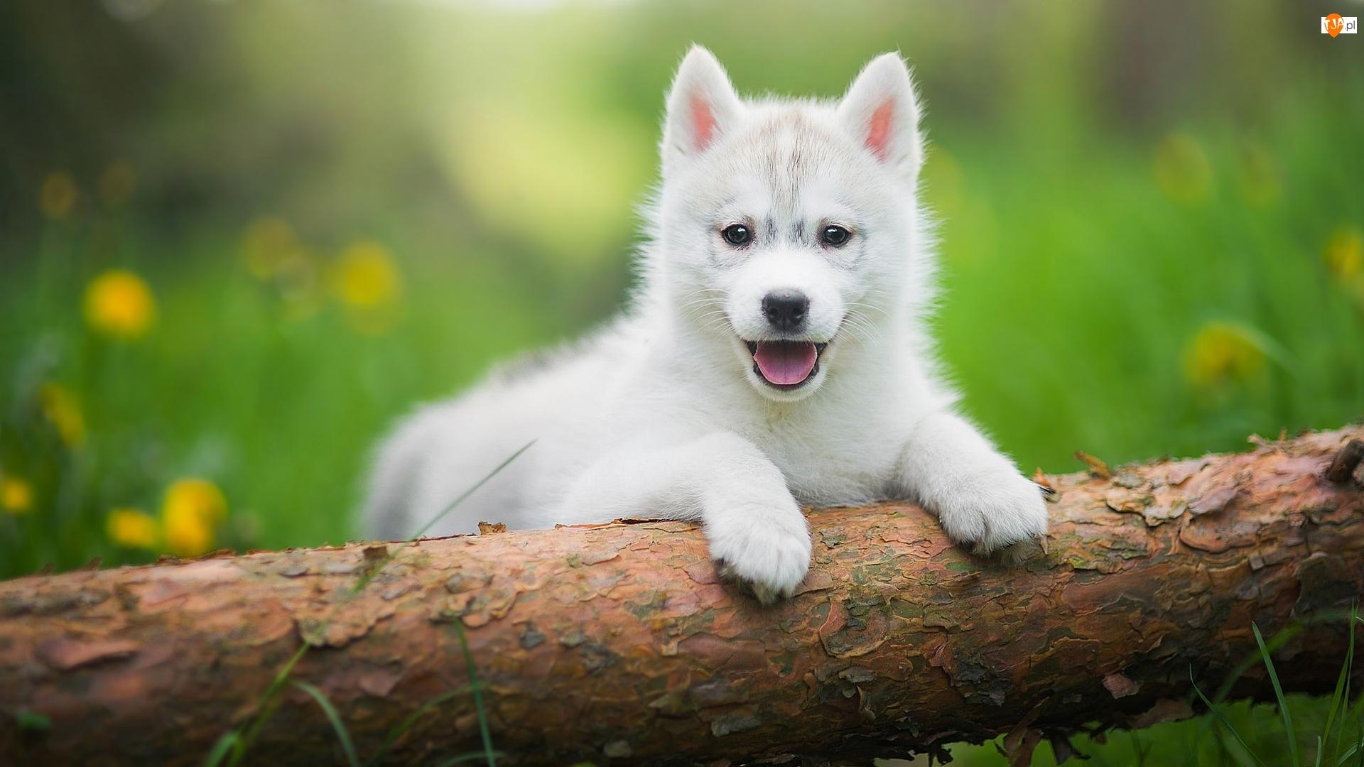 Biały, Siberian husky, Słodki, Szczeniak