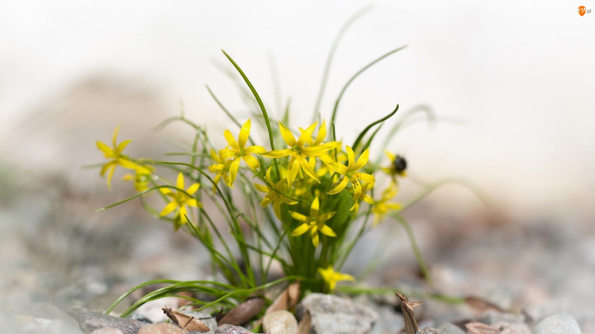 Złoć żółta, Żółte, Kwiaty
