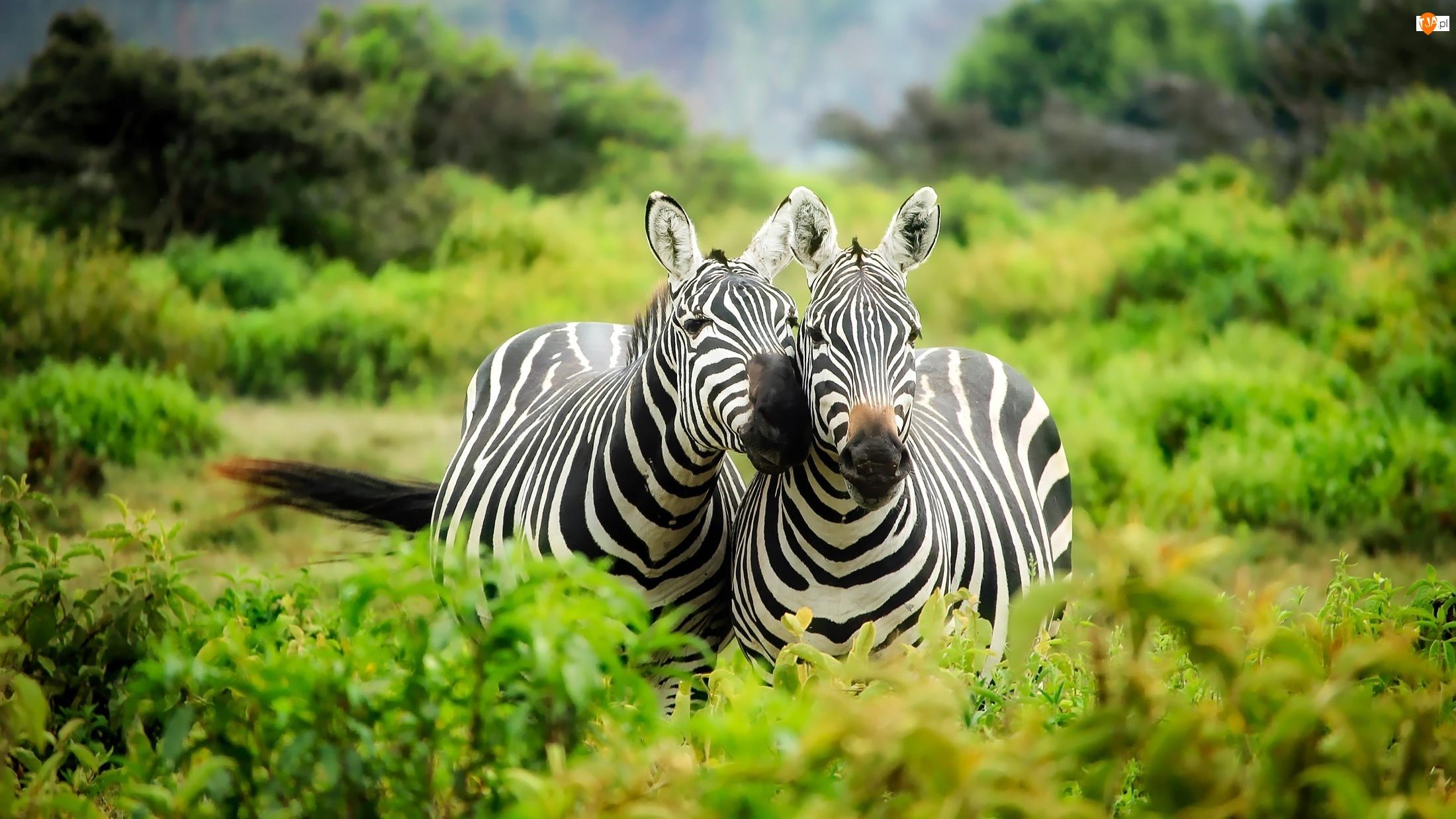 Roślinność, Dwie, Zebry