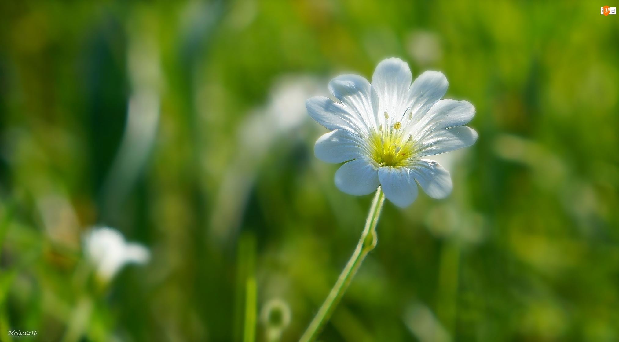 Rogownica, Biały, Polny, Kwiat