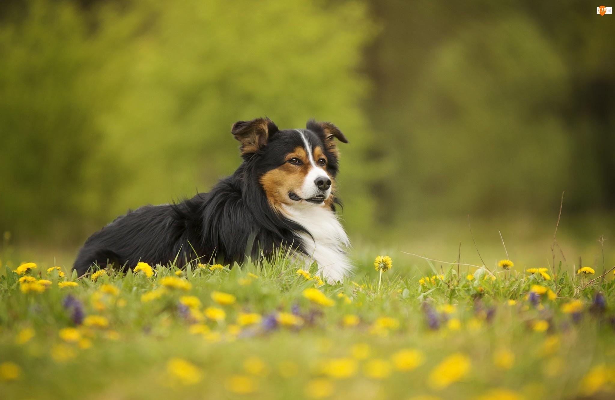 Kwiaty, Pies, Łąka