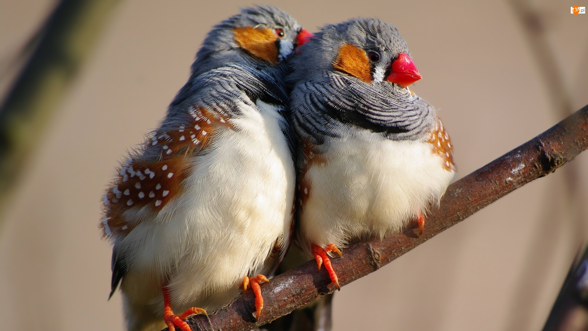 Dwa, Gałązka, Ptaki, Zeberki australijskie