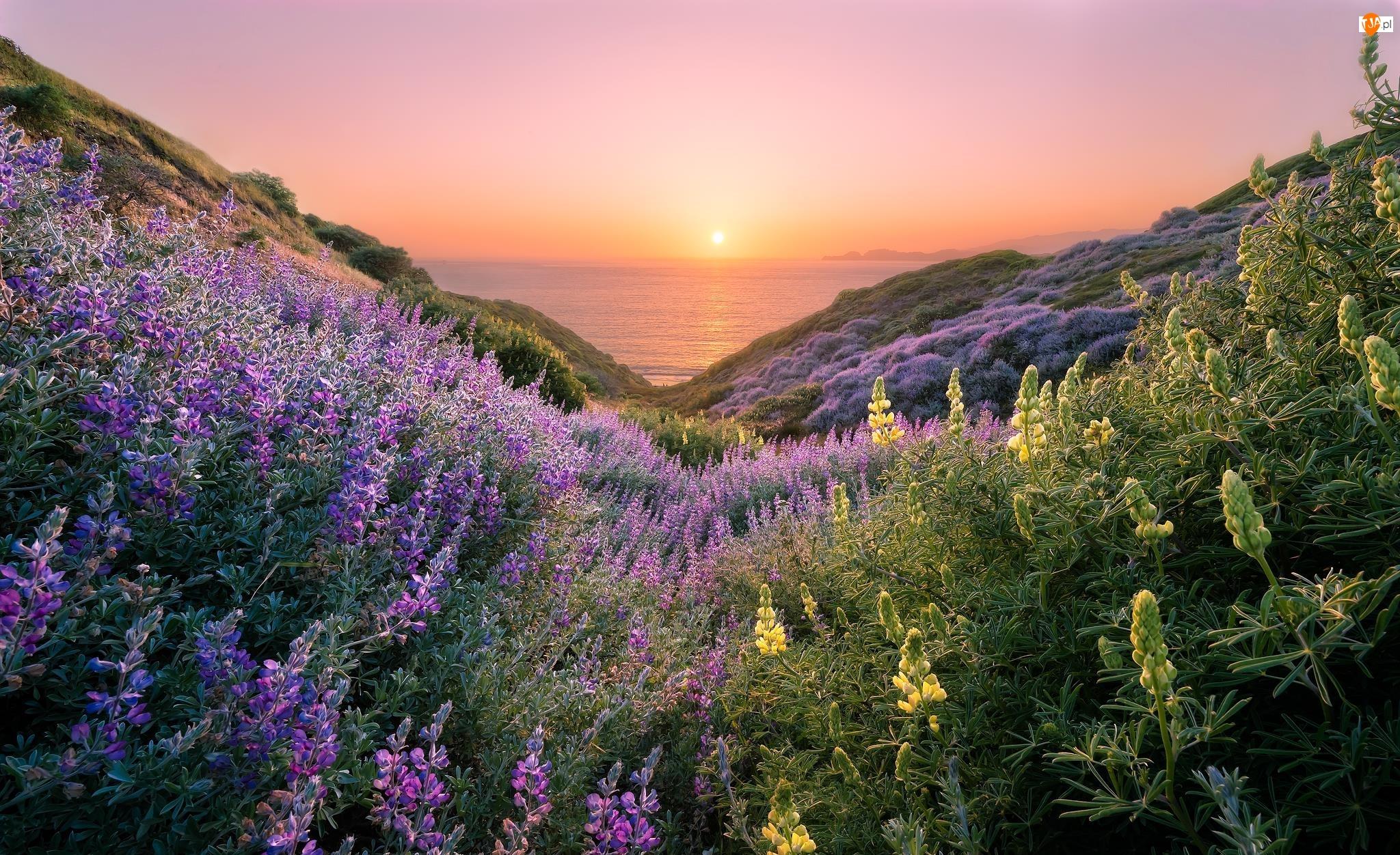 Morze, Kwiaty, Wzgórza, Stan Kalifornia, Szlak Coastal Trail, Stany Zjednoczone, Zachód słońca, San Francisco, Łubin