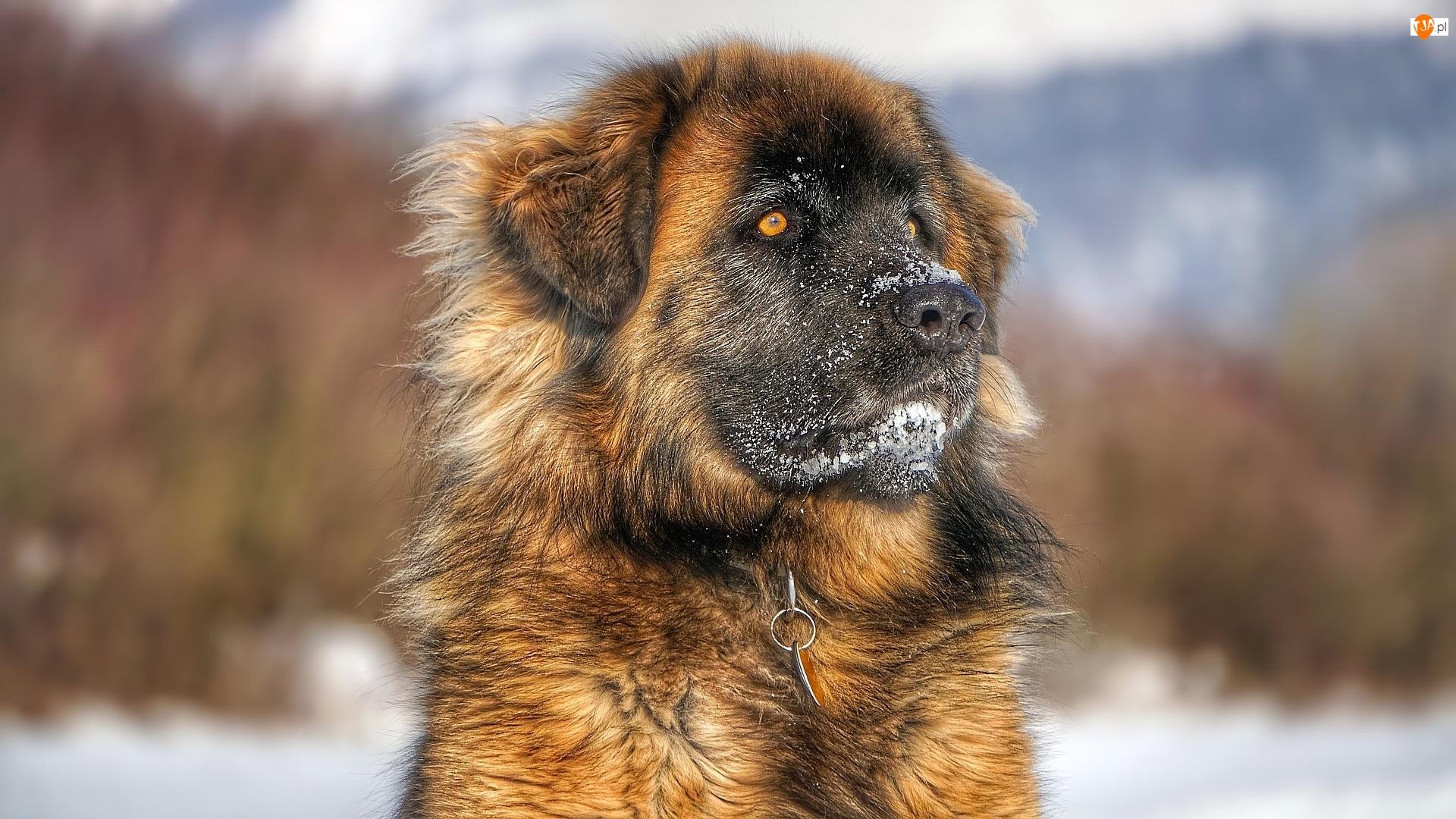 Pies, Leonberger