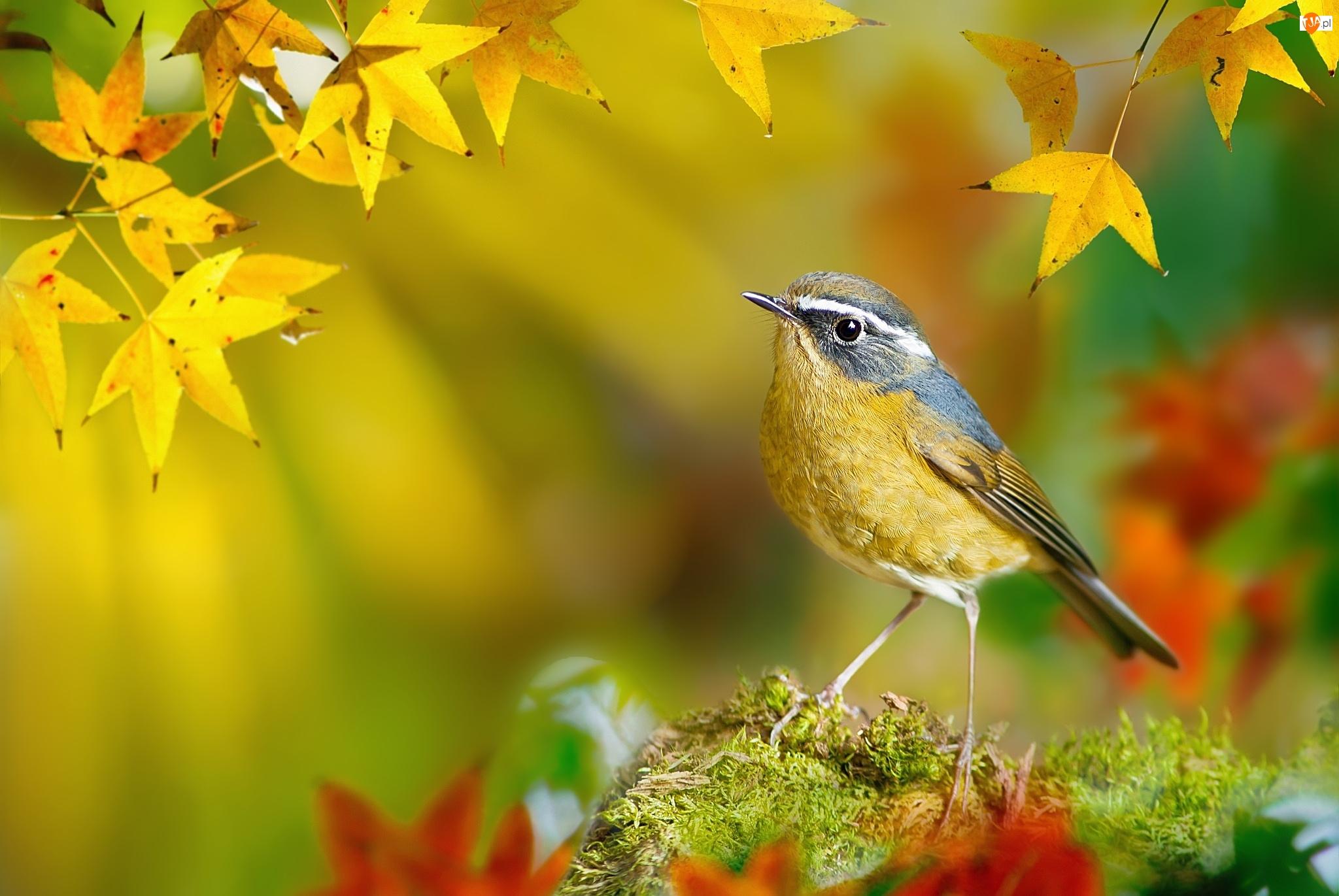 Jesień, Ptak, Mech, Modraczek białobrewy, Liście