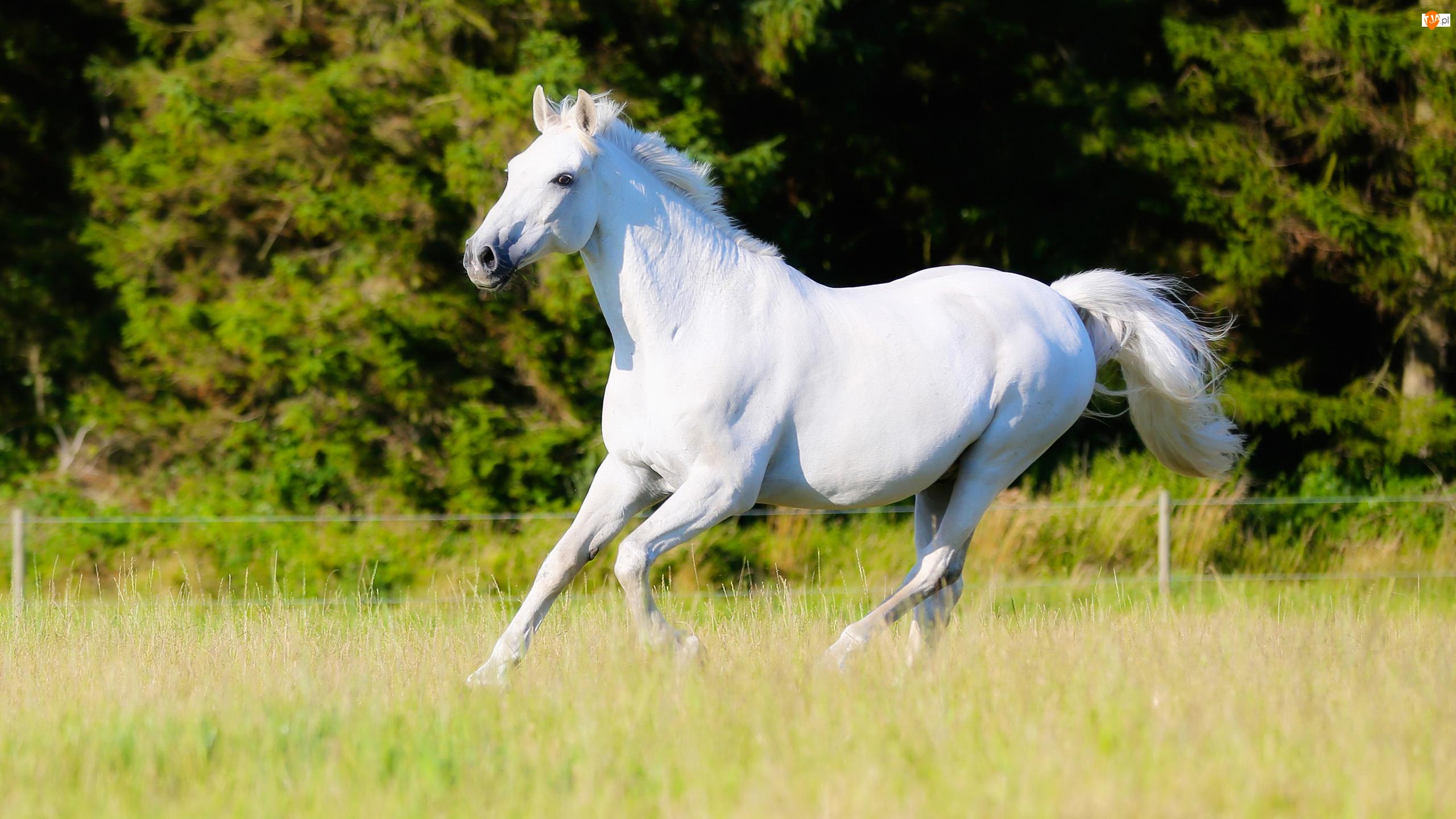 Biały, Łąka, Koń, Trawa