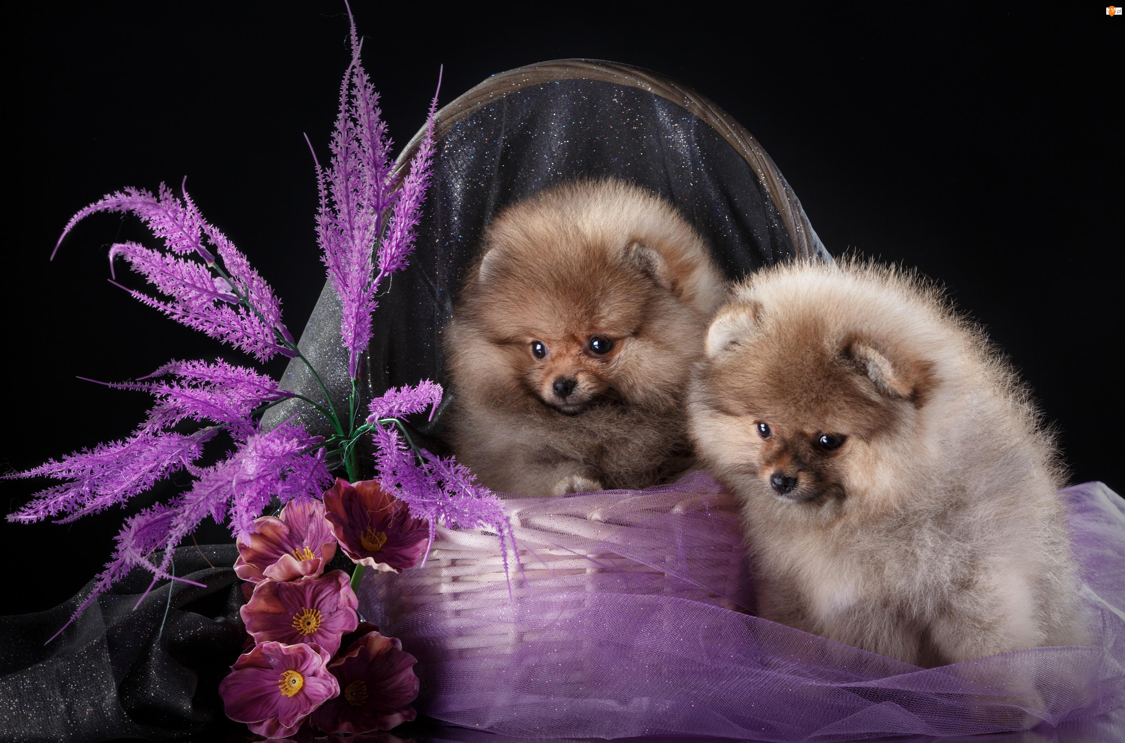 Kwiaty, Słodkie, Szpice miniaturowe, Szczeniaki, Koszyk