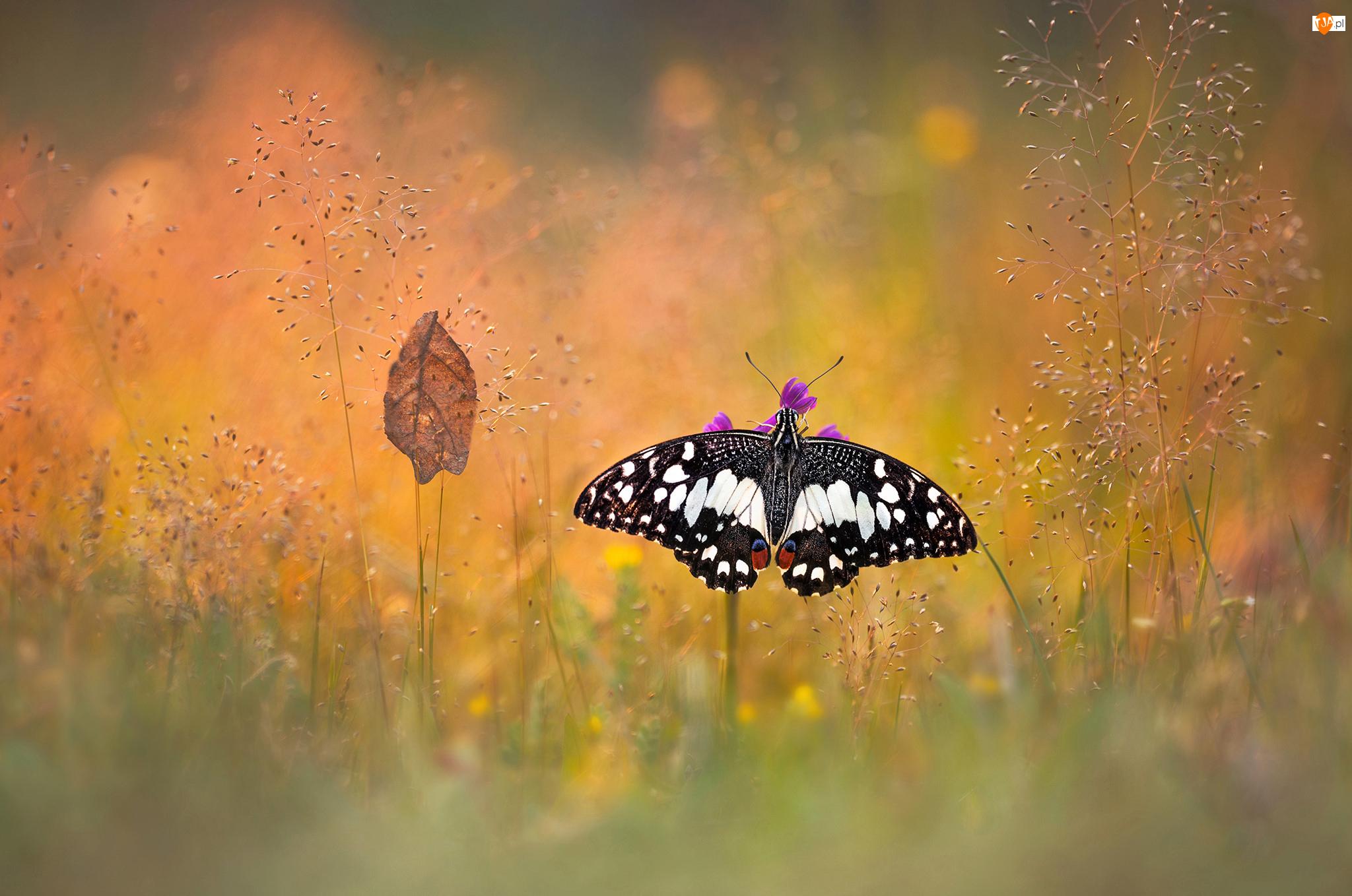 Bokeh, Motyl, Trawa, Papilio demodocus, Liść