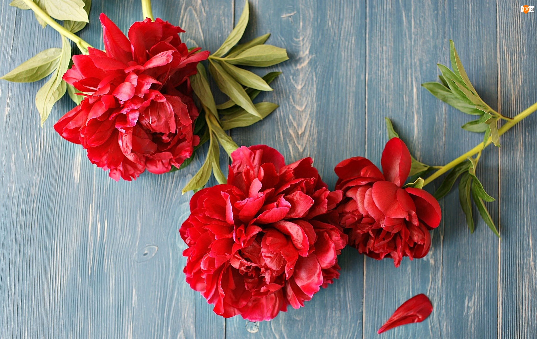 Kwiaty, Piwonie, Deski