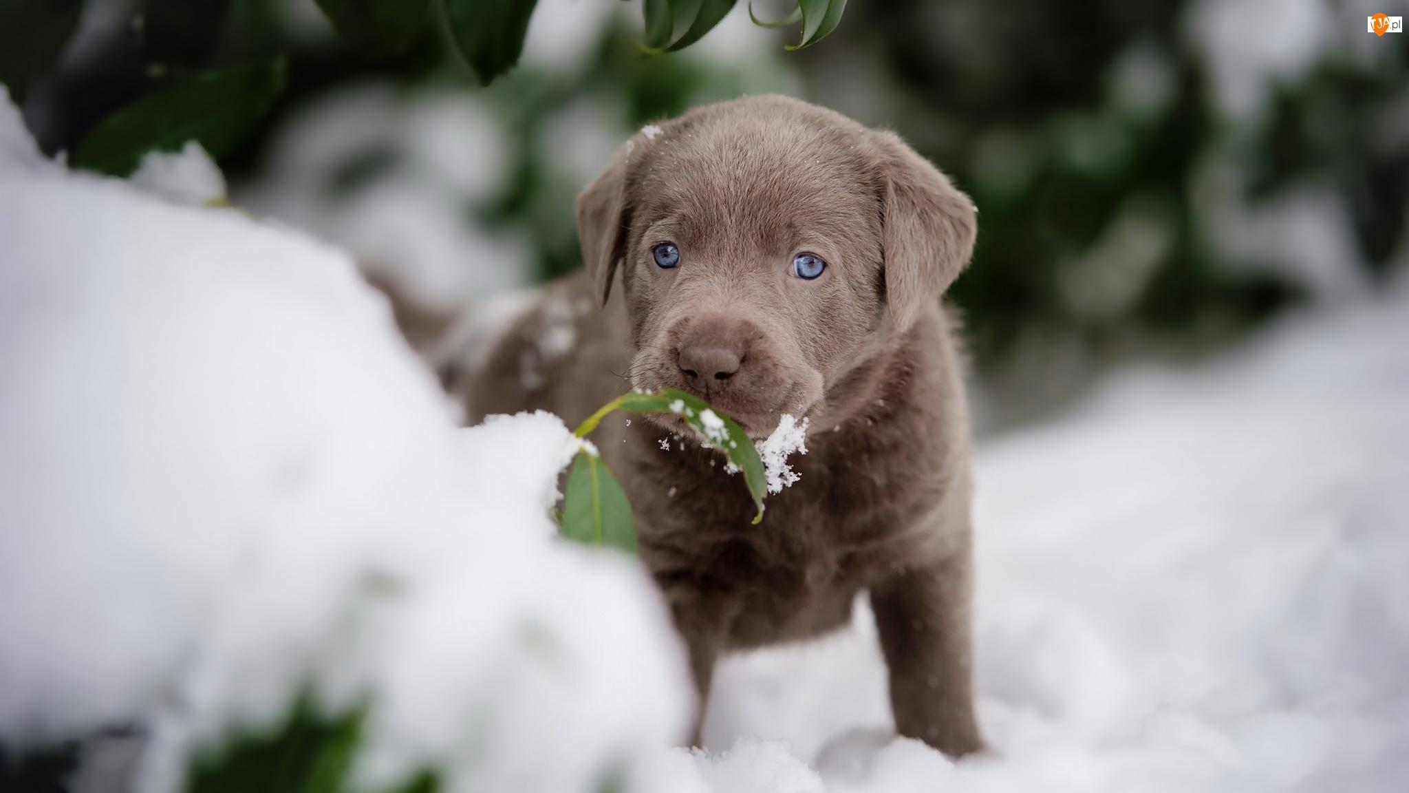 Szczeniak, Listki, Labrador retriever, Śnieg