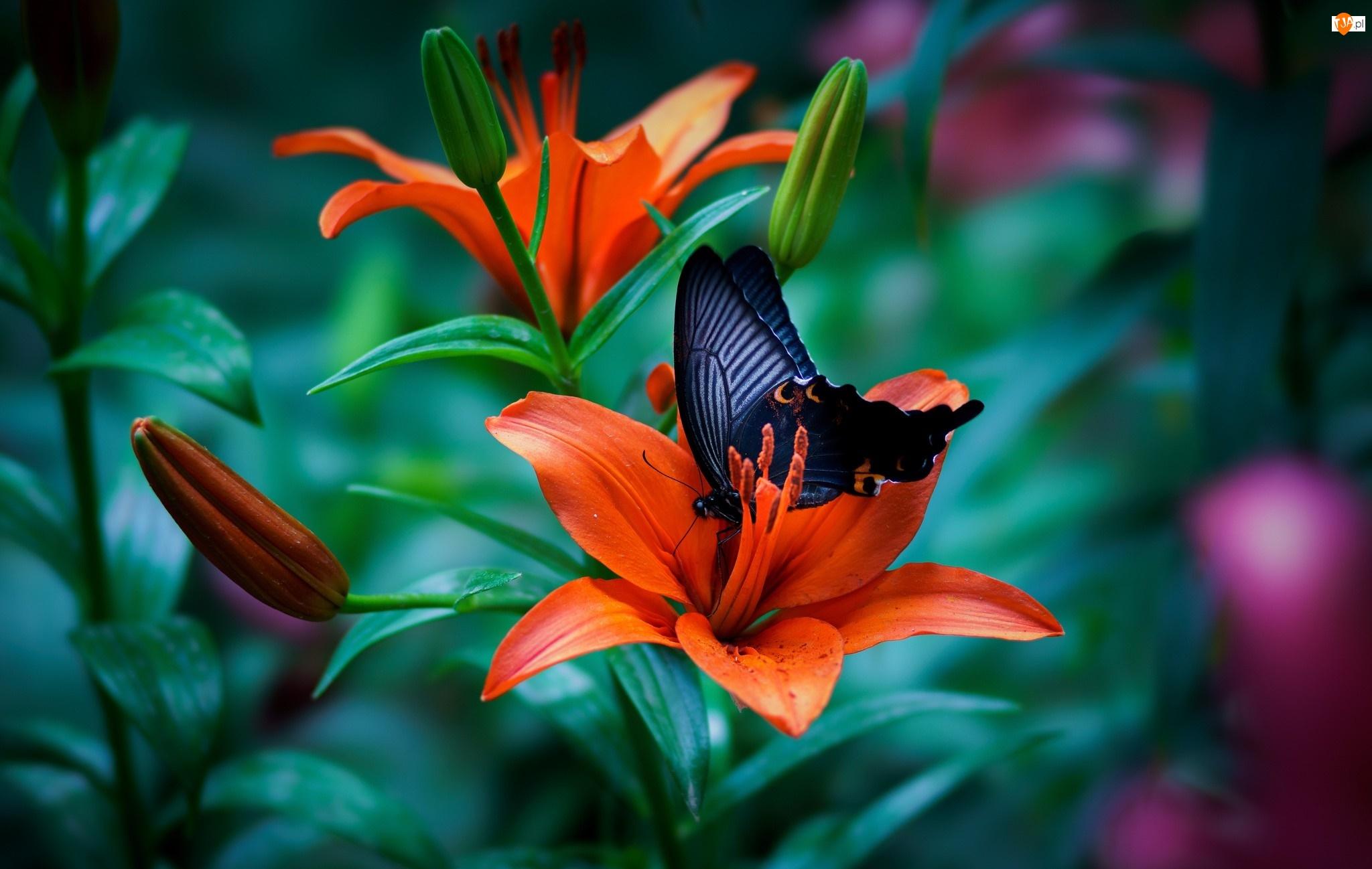 Papilio okinawensis, Lilie, Czarny, Kwiaty, Motyl