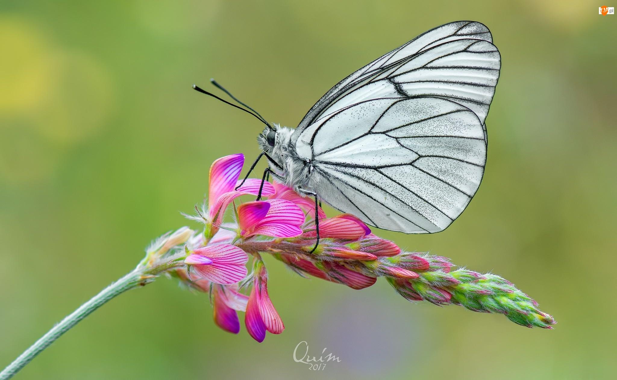 Kwiat, Motyl, Niestrzęp głogowiec