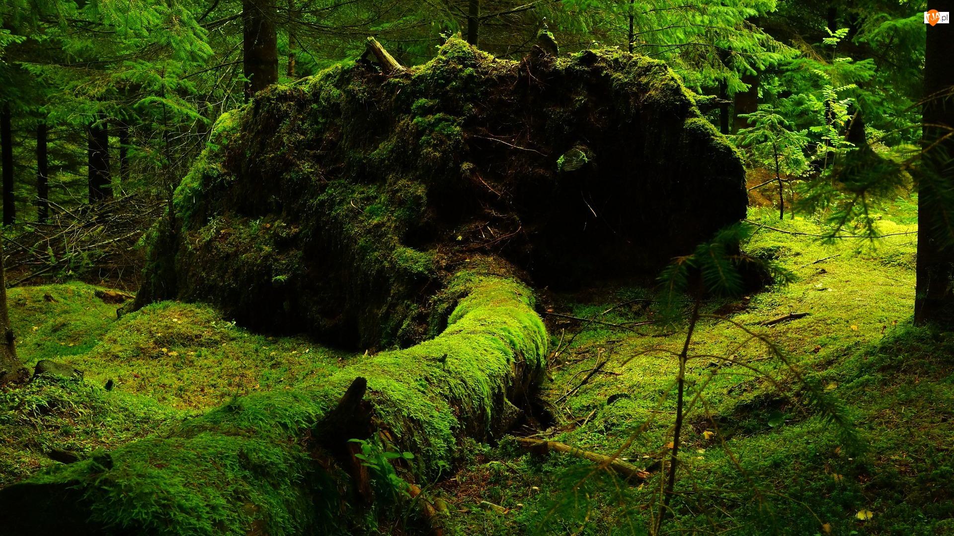 Mech, Las, Drzewa