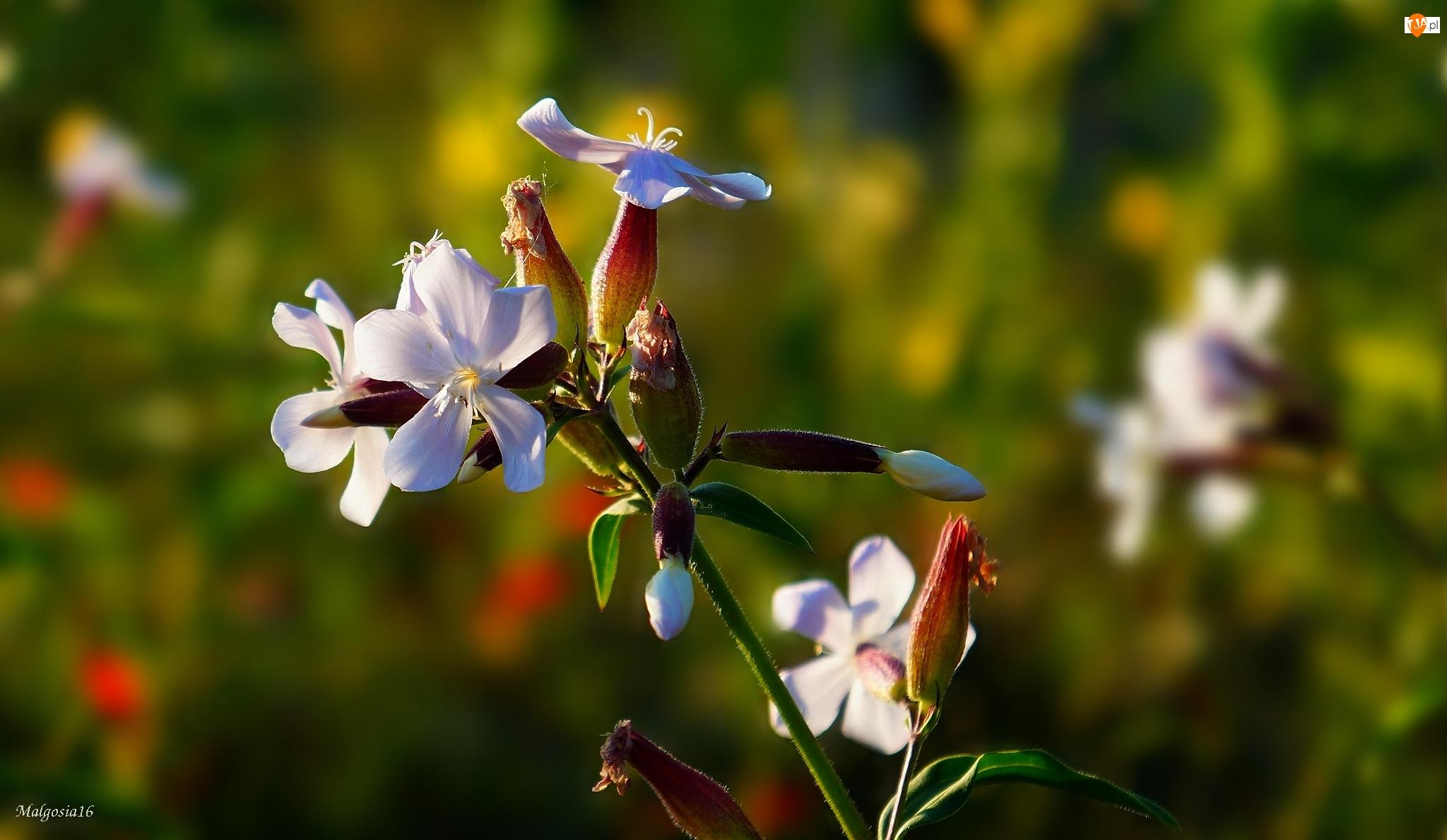 Łąka, Kwiat, Polny, Biały, Lepnica