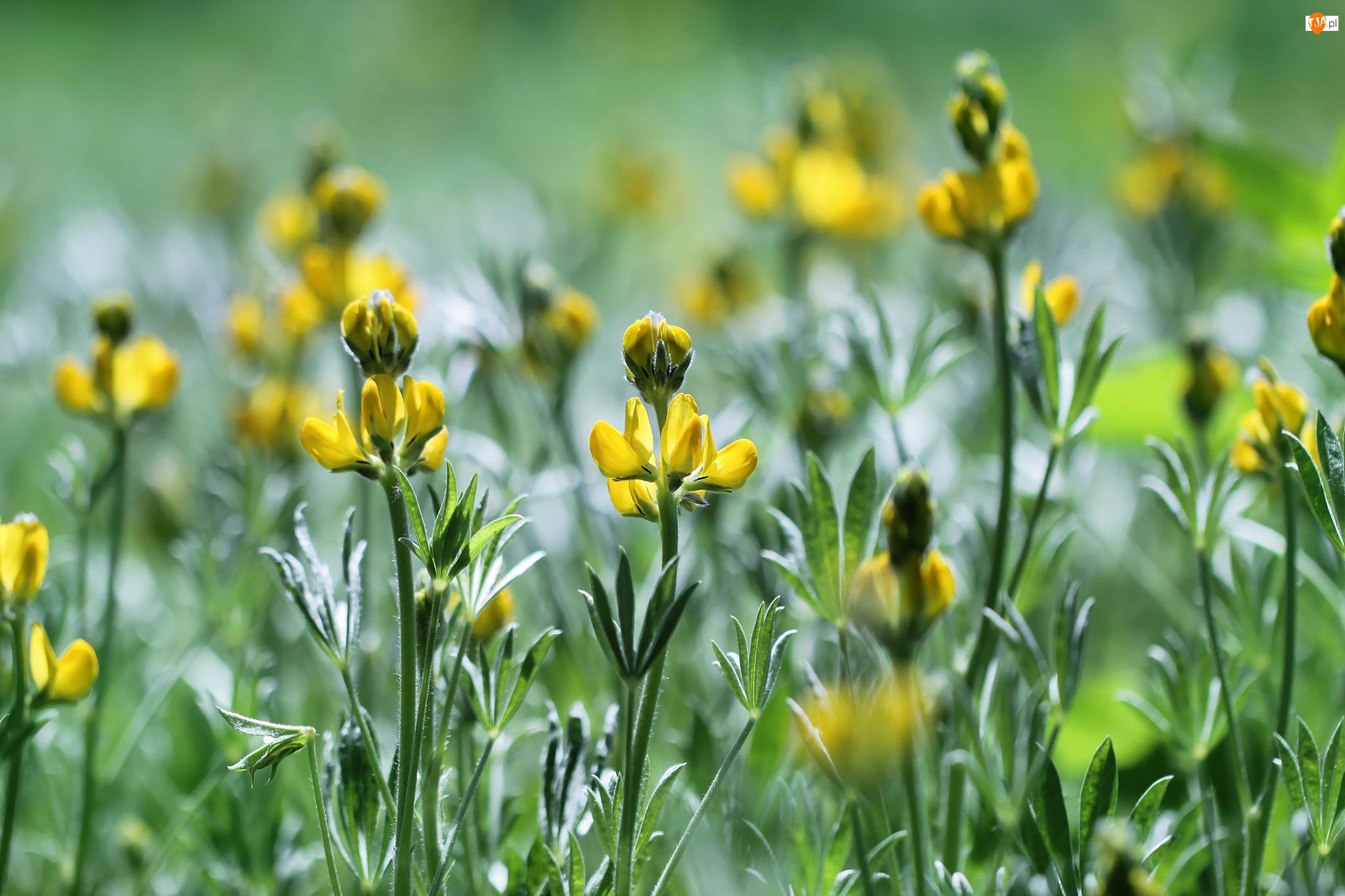 Kwiaty, Żółte, Rozkwitające