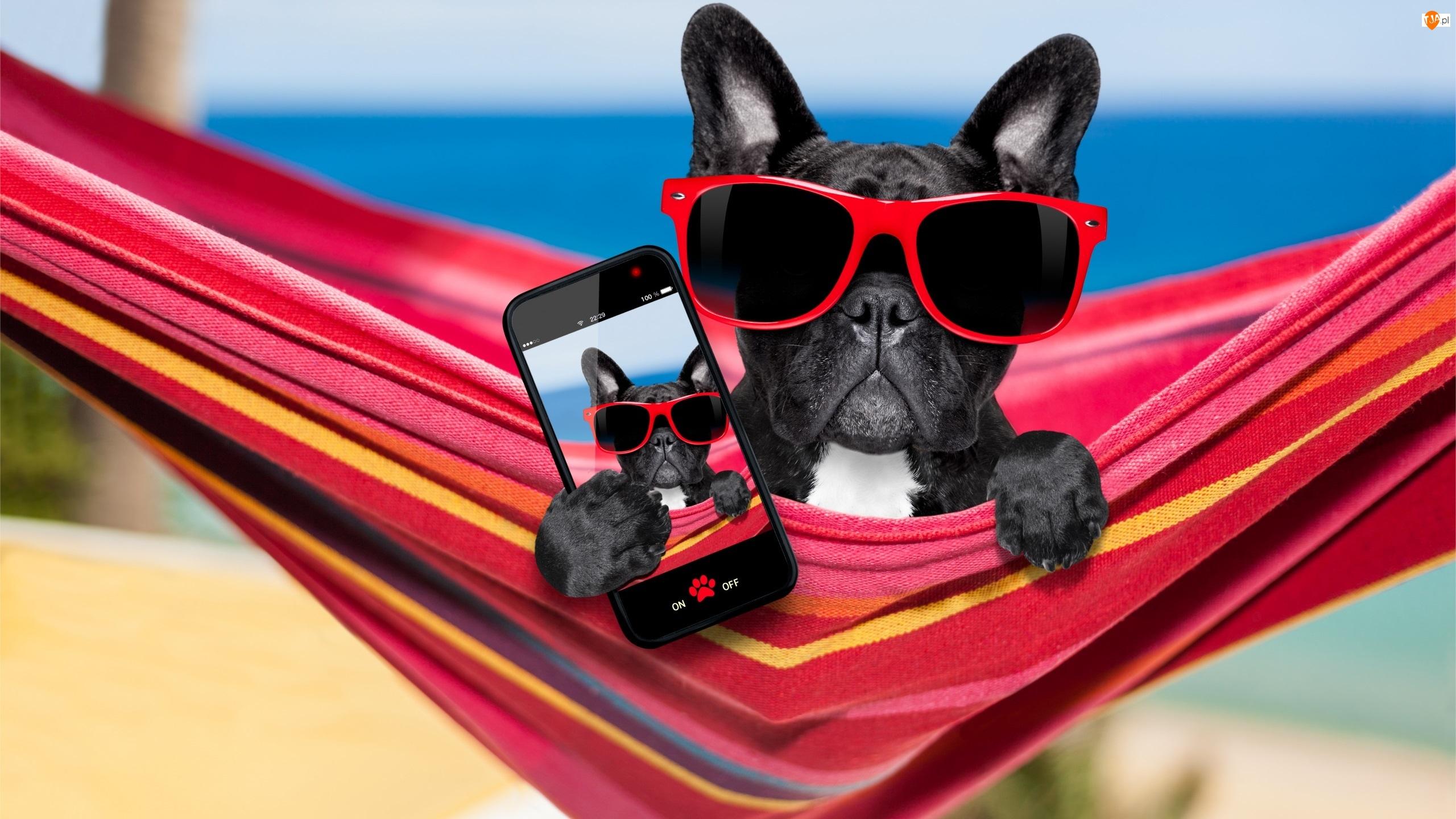 Śmieszne, Pies, Telefon, Buldog francuski, Selfie