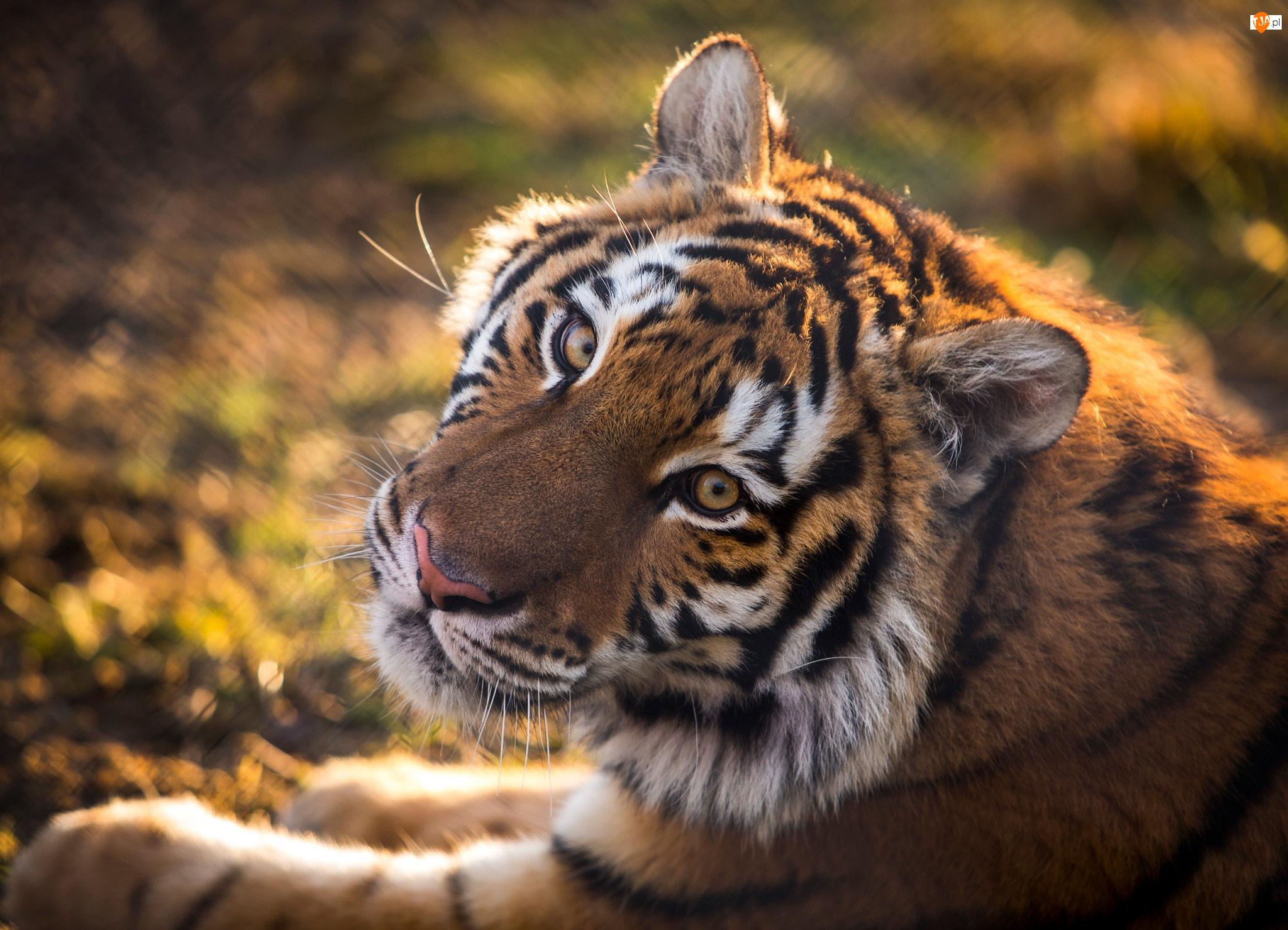 Tygrys, Głowa