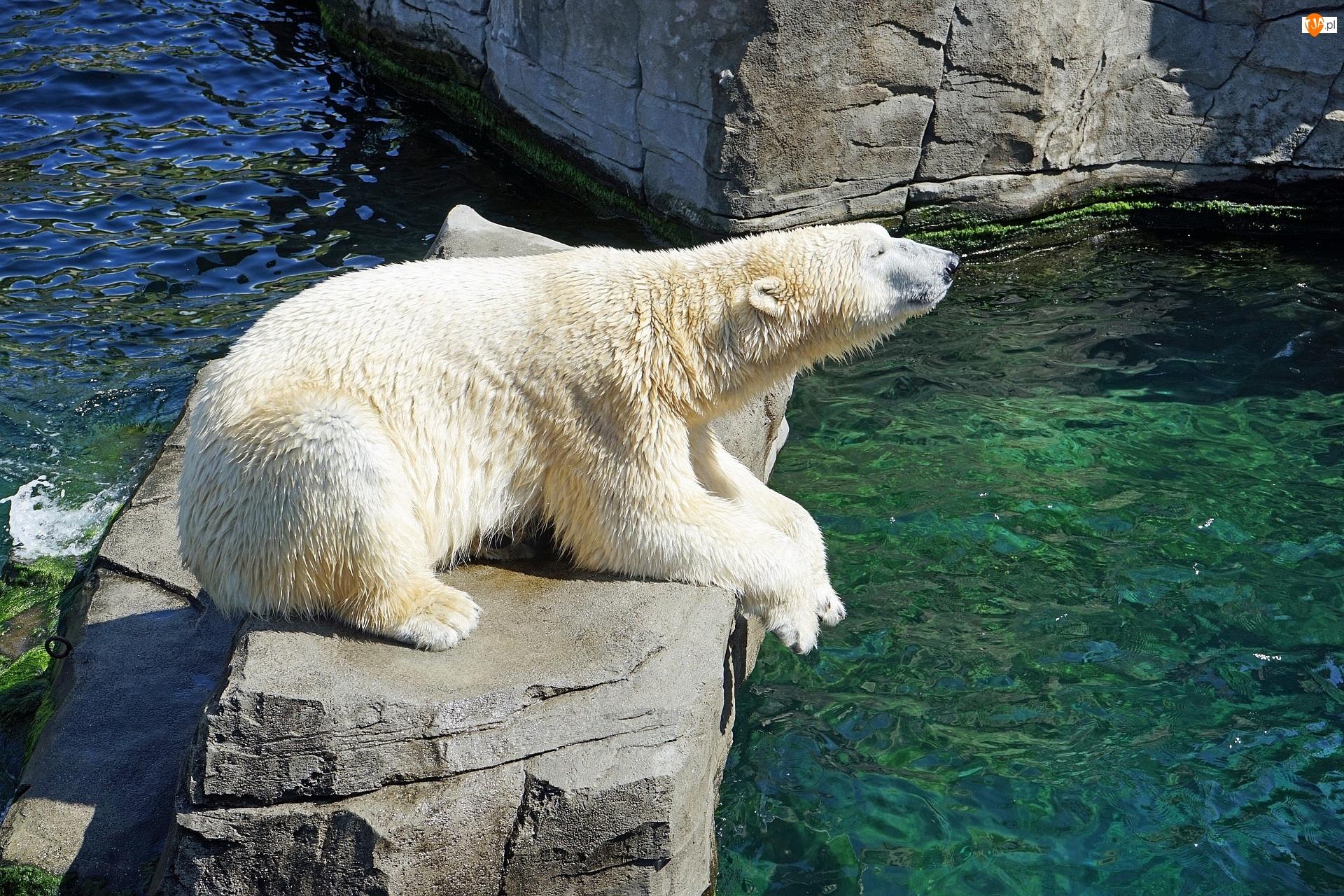 Niedźwiedź polarny, Skała