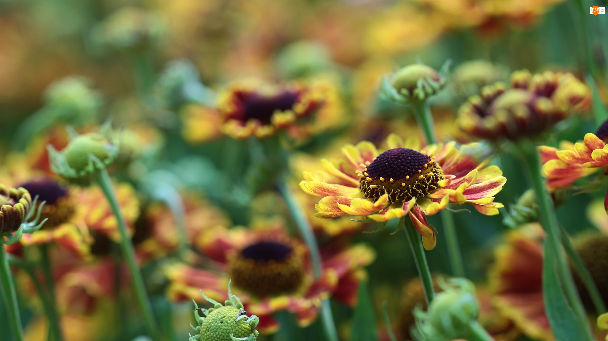 Dzielżan ogrodowy, Kwiaty, Żółte, Czerwone