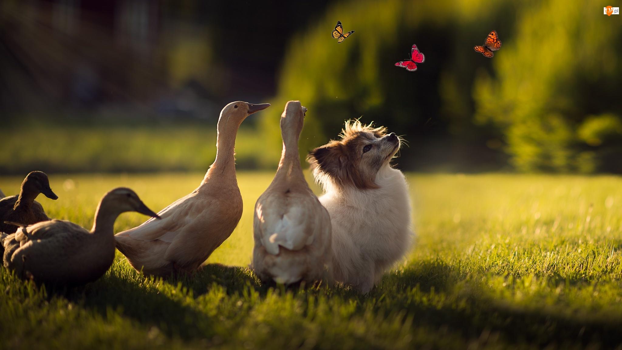 Motyle, Kaczki, Pies