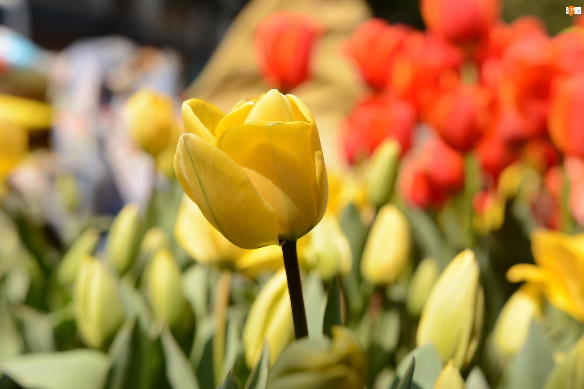 Tulipany, Rozmycie
