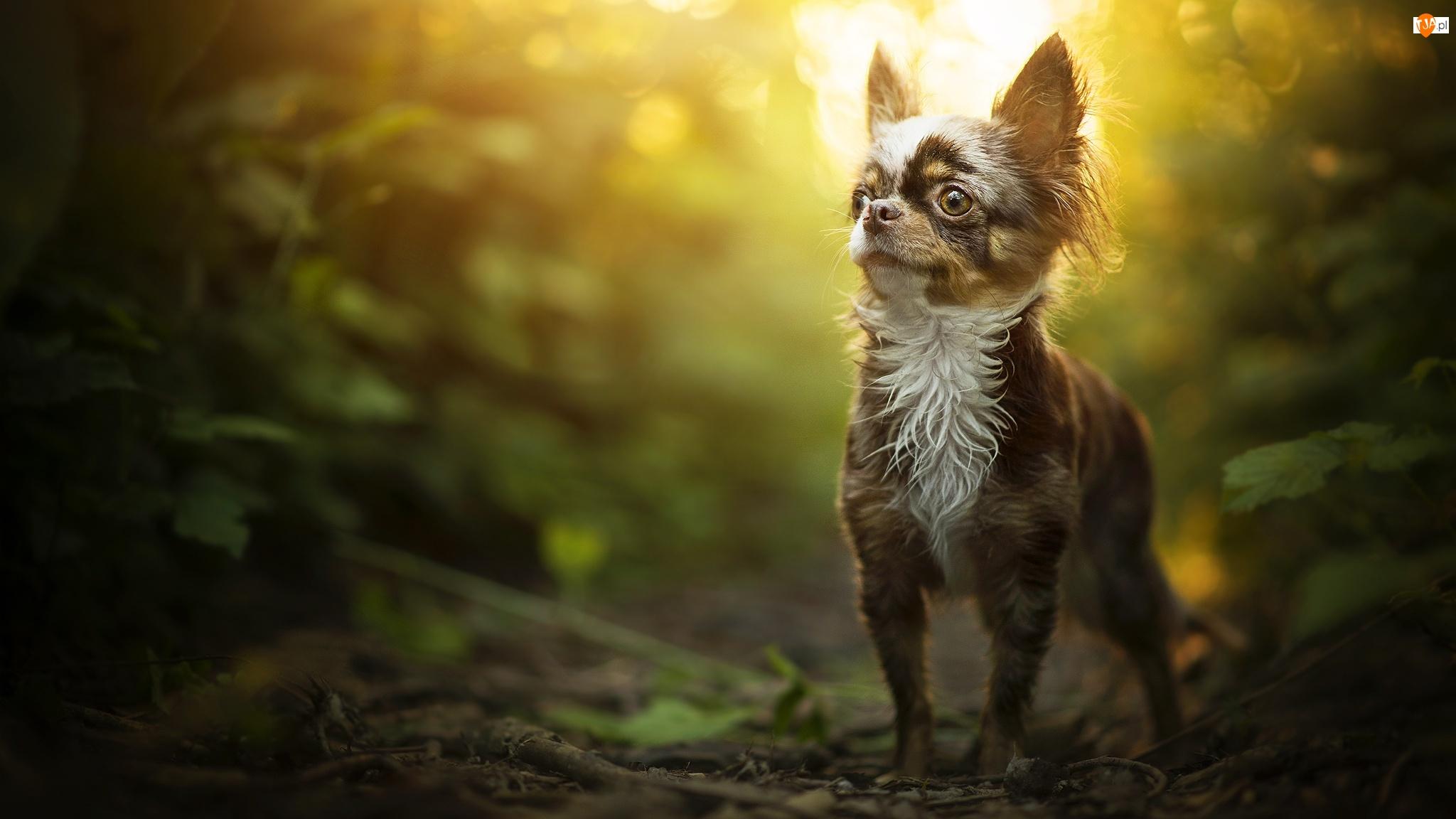 Pies, Chihuahua długowłosa