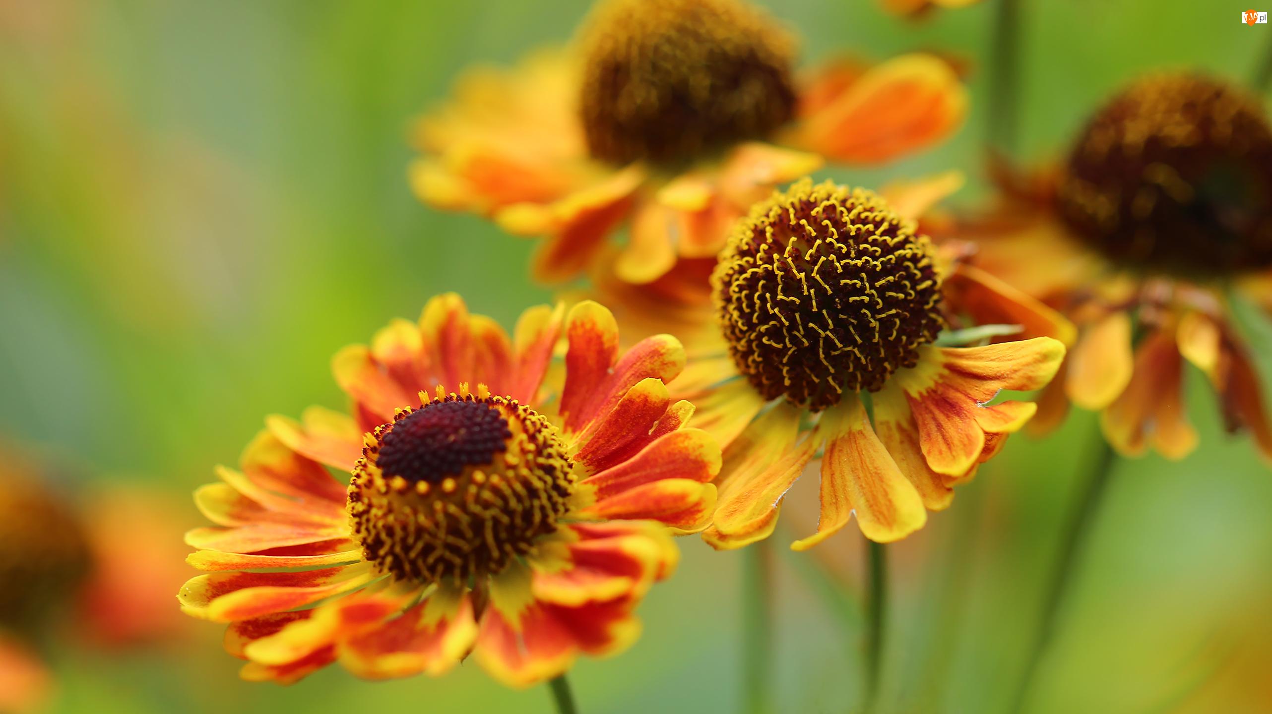 Dzielżan Ogrodowy, Żółte, Kwiaty, Czerwone