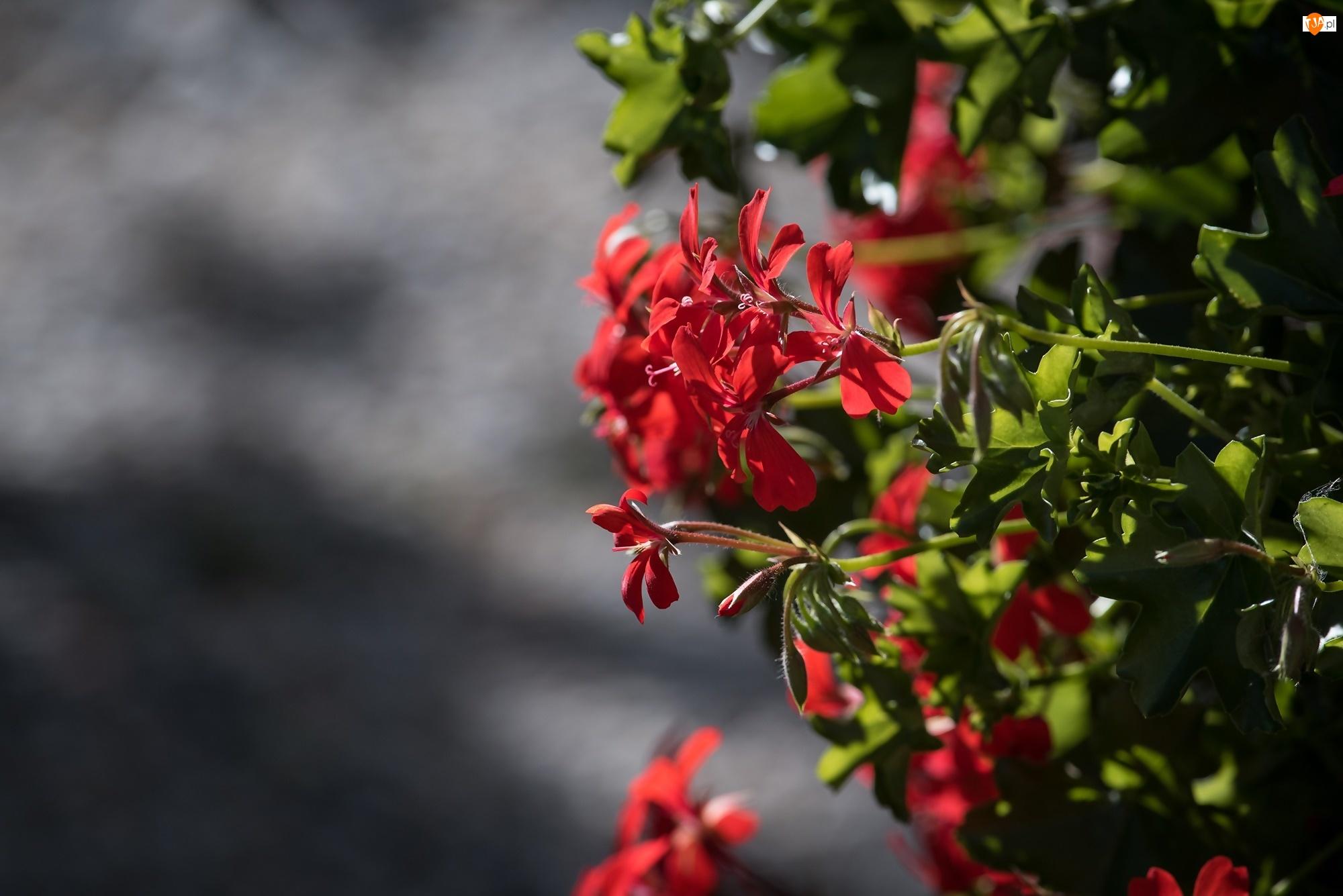 Światło, Pelargonia, Kwiaty