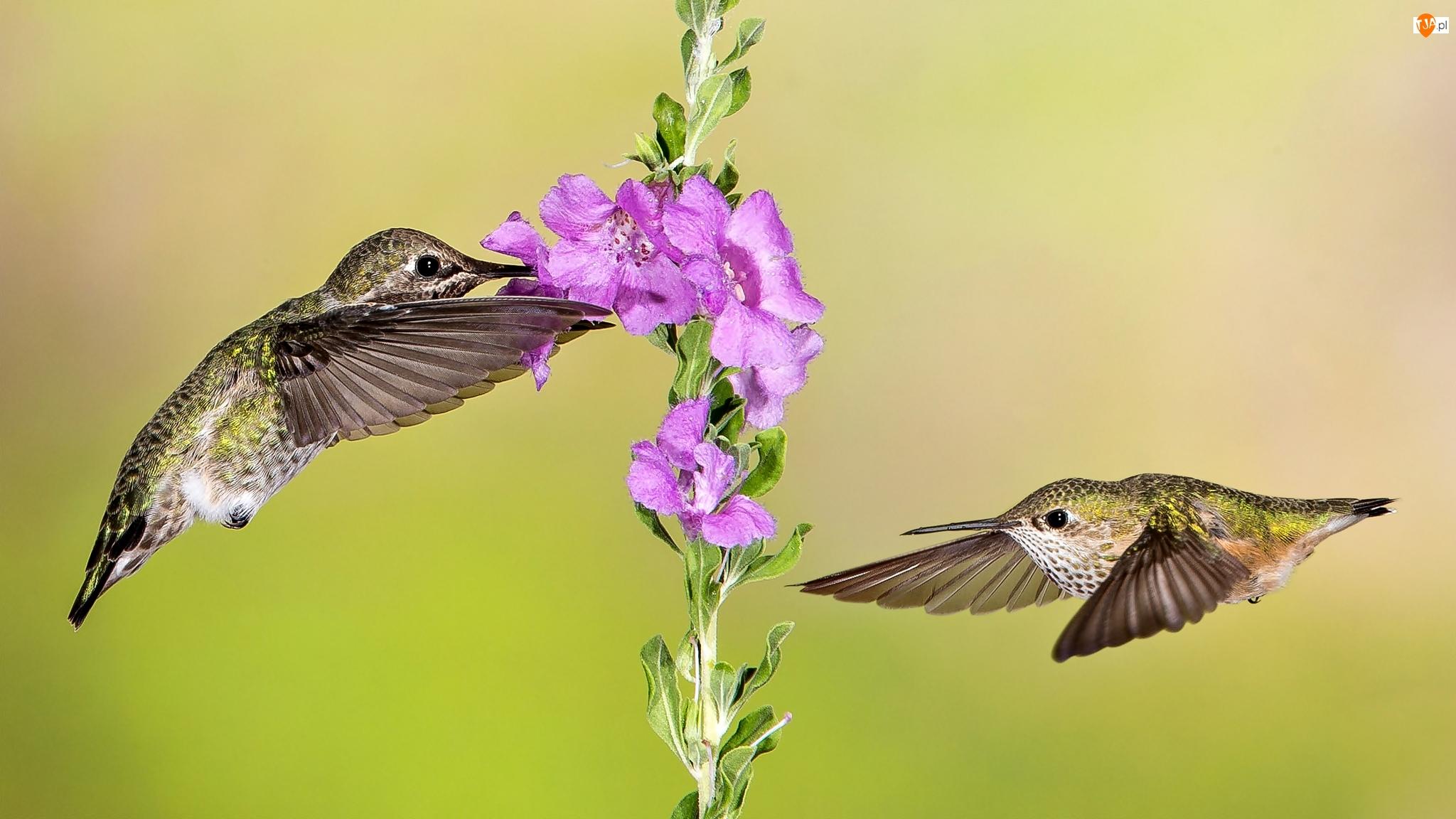 Kwiat, Dwa, Kolibry