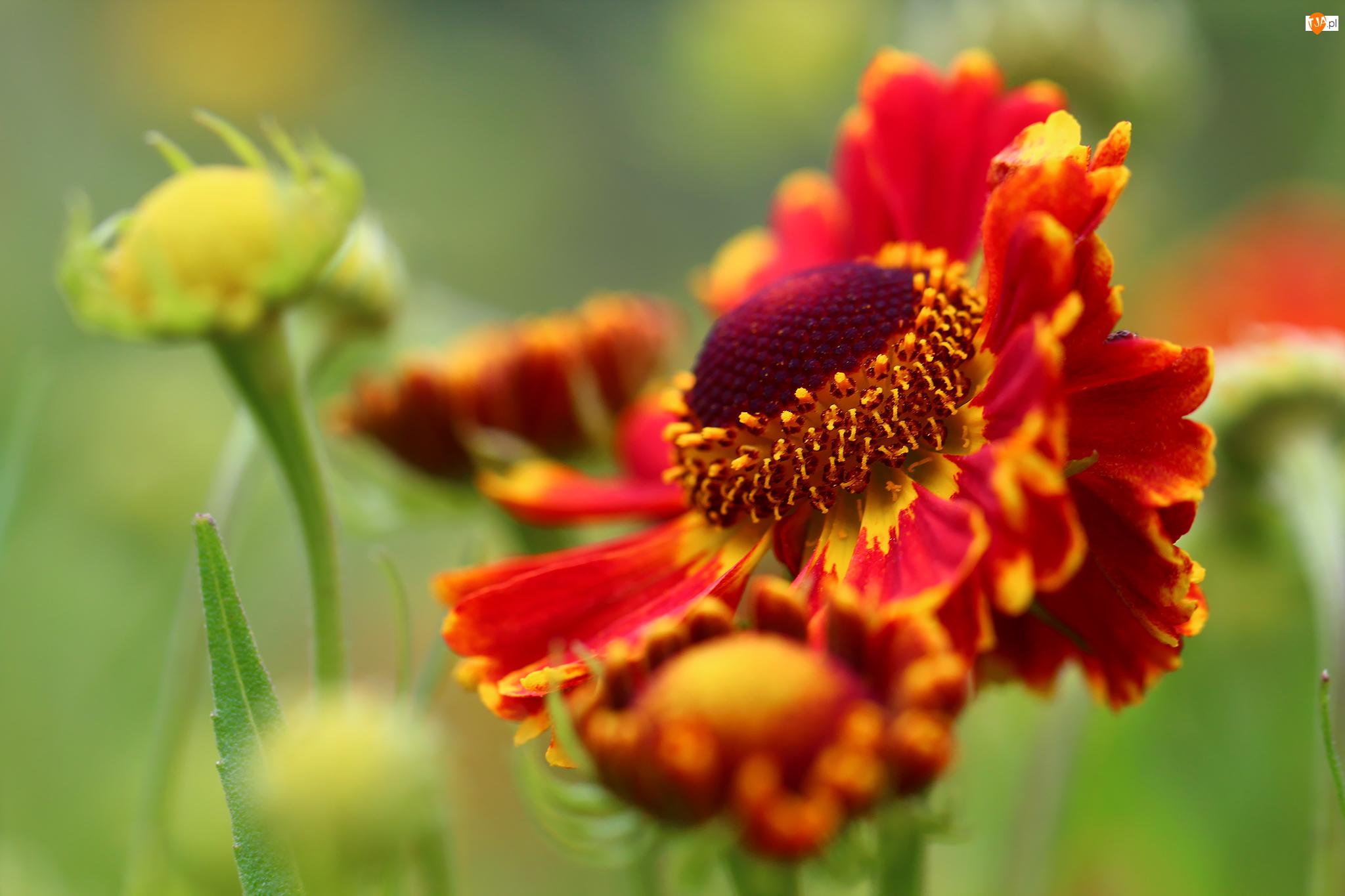 Kwiat, Dzielżan, Czerwony