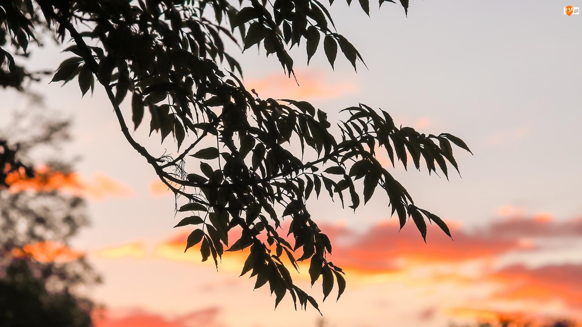 Drzewo, Zachód słońca, Gałąź, Liście