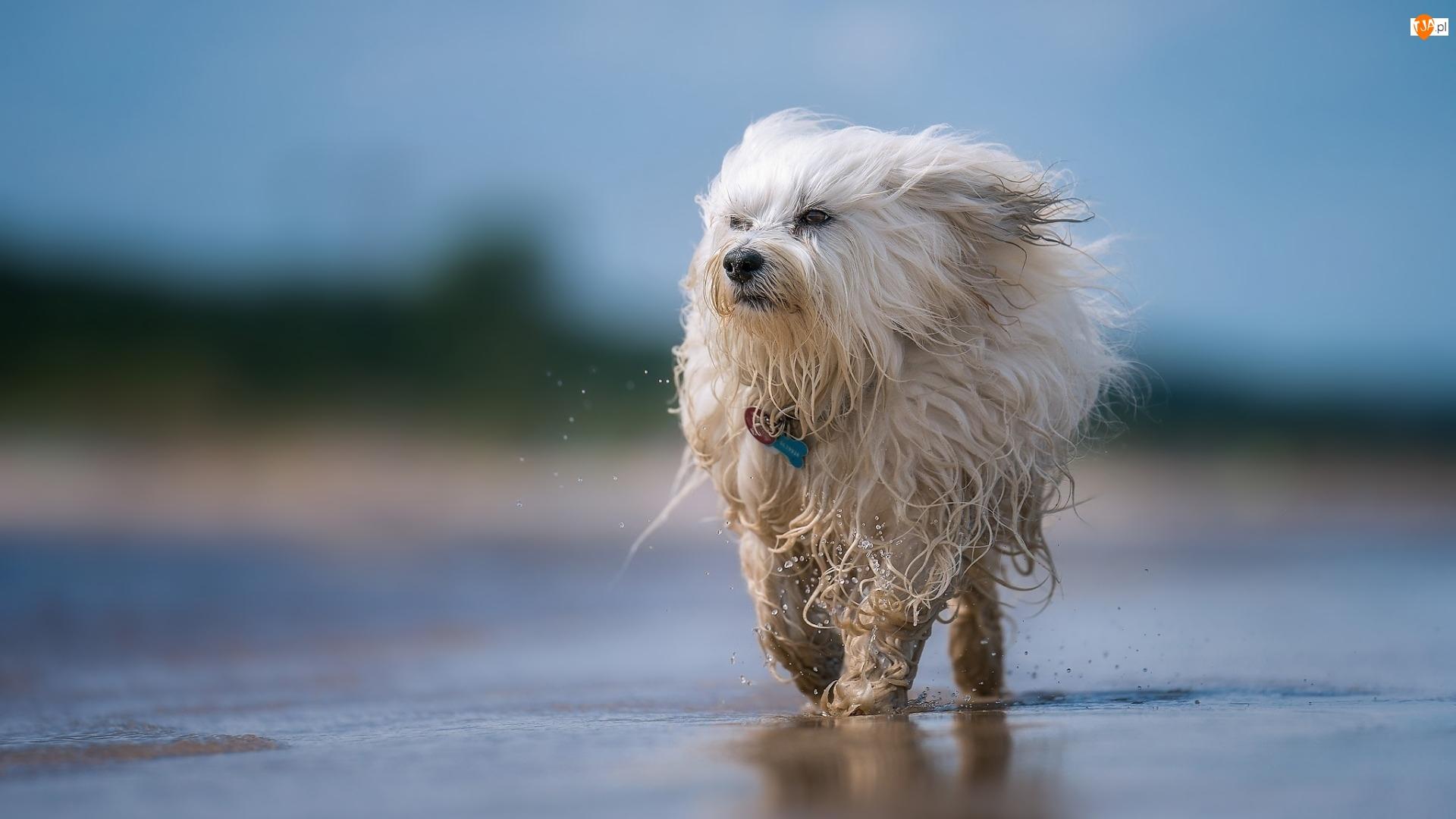 Woda, Pies, Hawańczyk