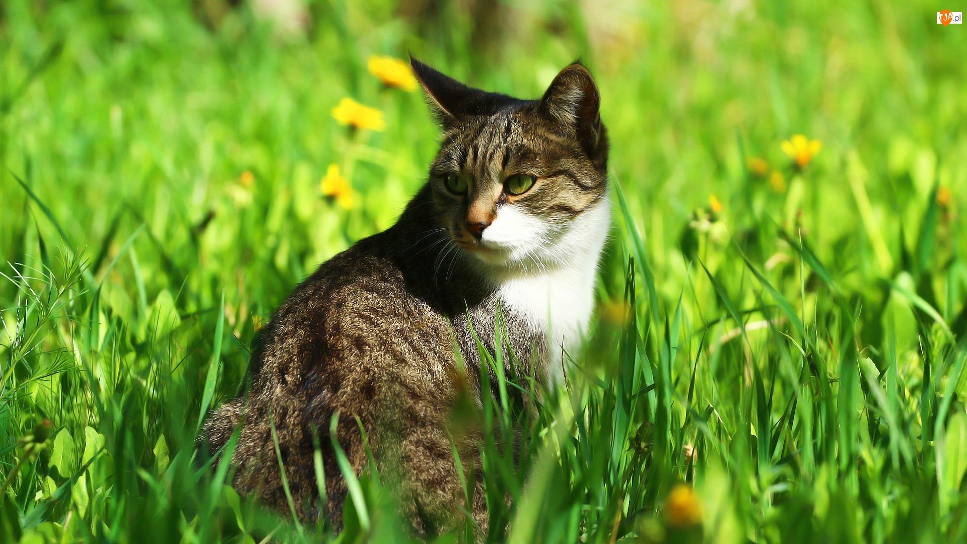 Kot, Zieleń, Trawa, Słońce