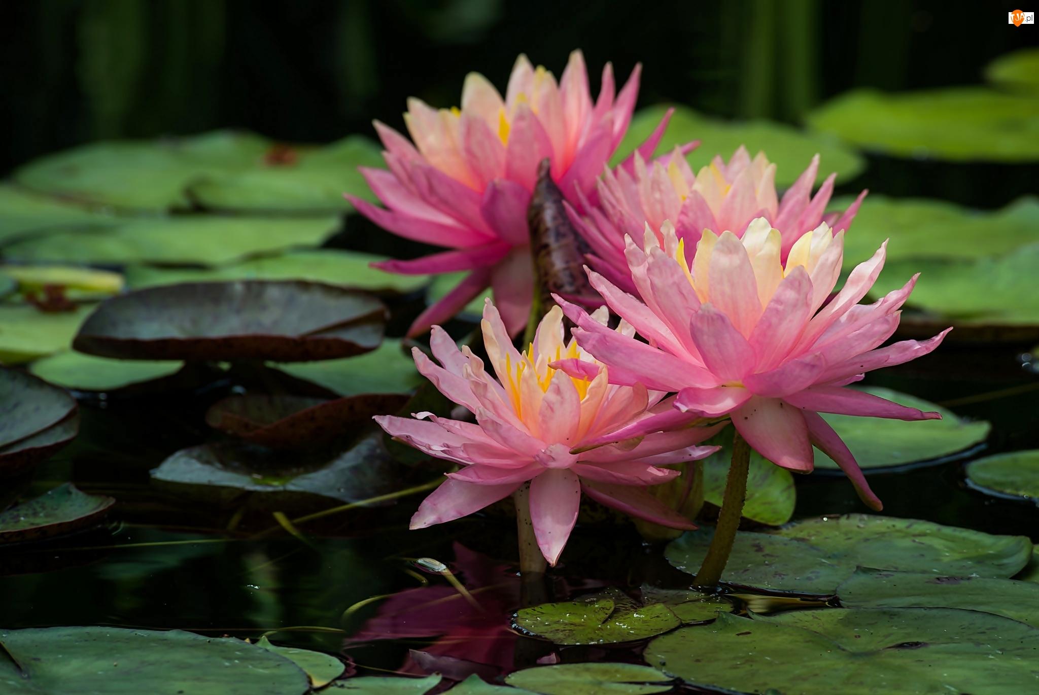 Lilie wodne, Liście