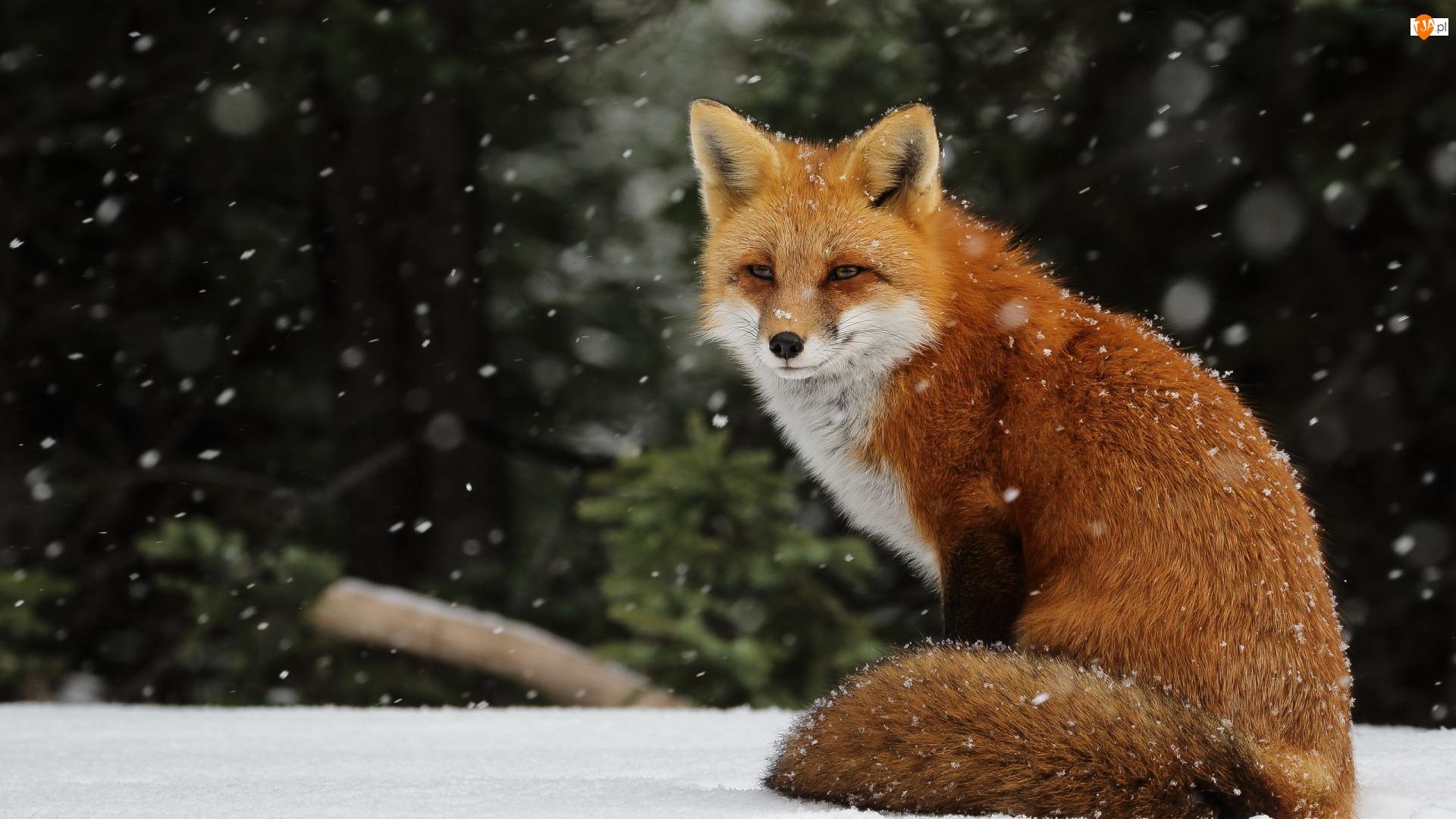 Rudy, Śnieg, Lis, Zima