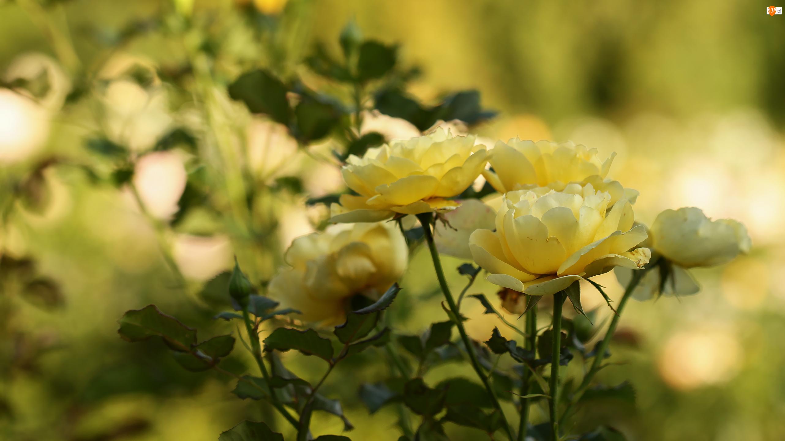 Róże, Żółte, Kwiaty