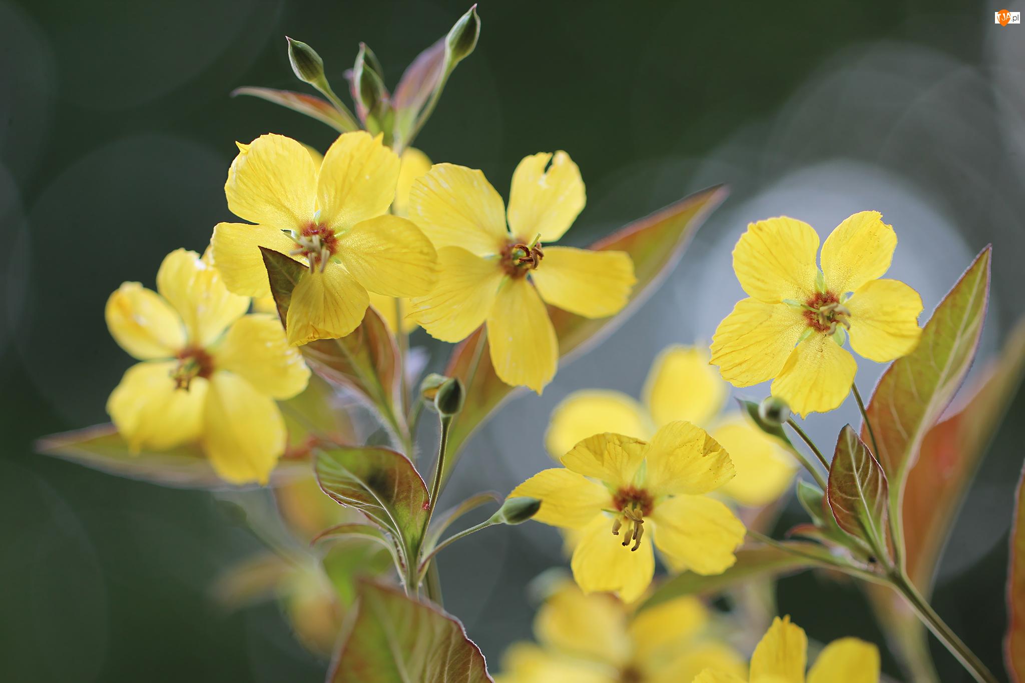 Kwiaty, Tojeść orzęsiona, Żółte