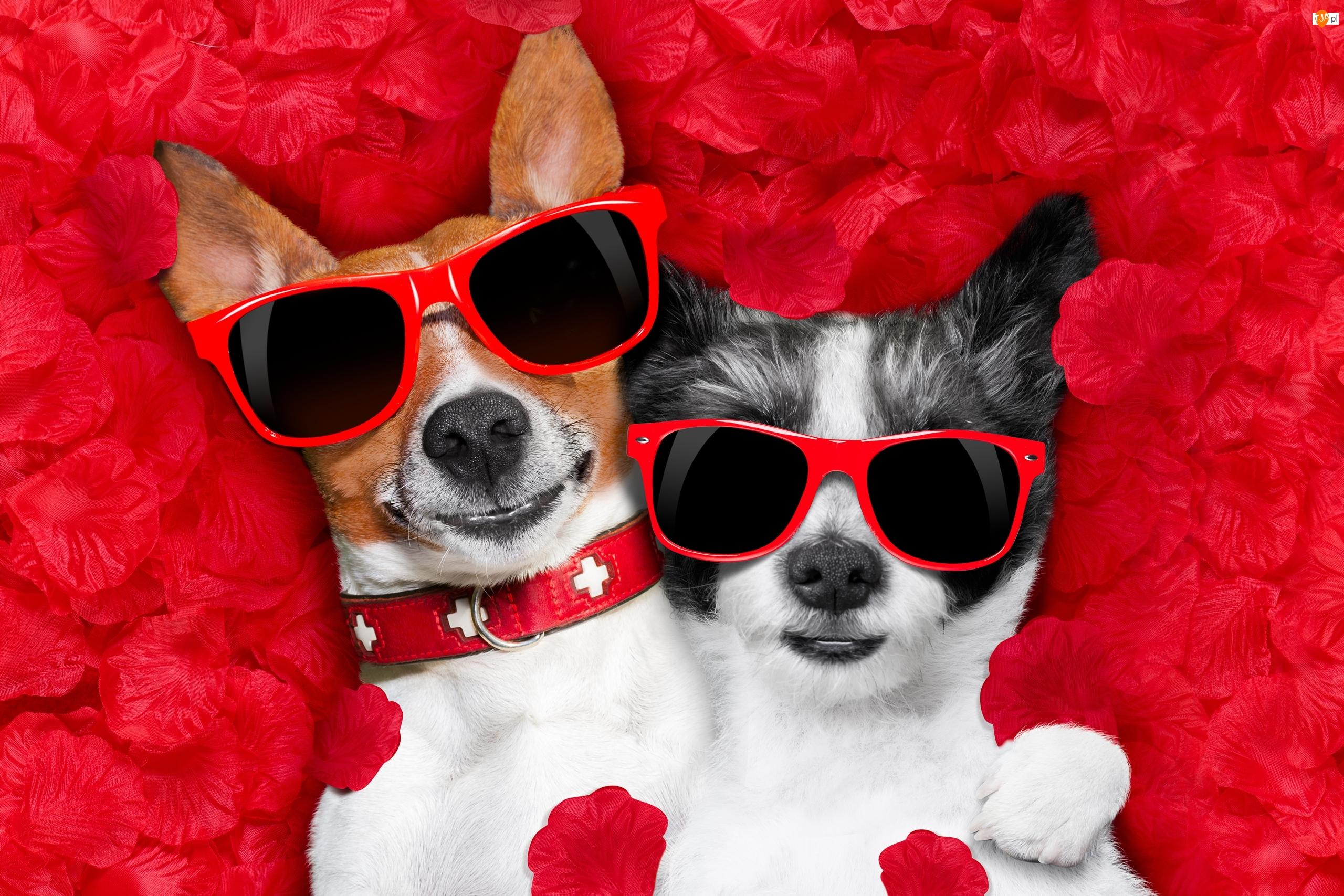 Chihuahua krótkowłosa, Śmieszne, Jack Russell terrier, Okulary