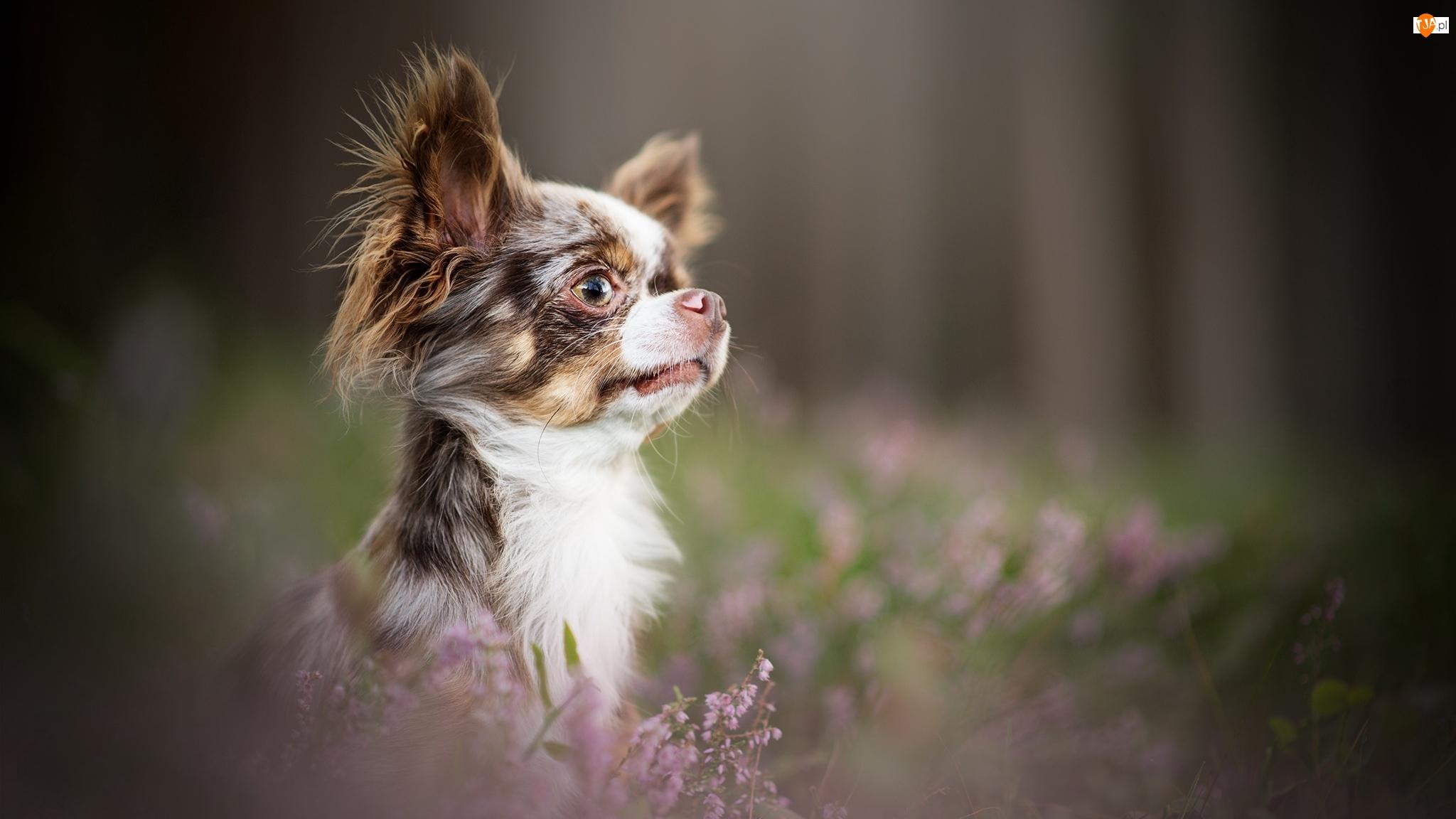 Mordka, Pies, Chihuahua długowłosa