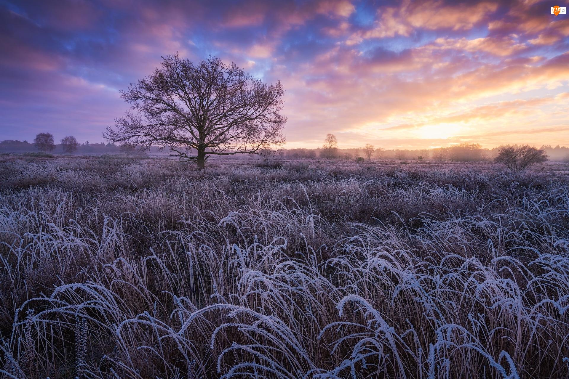 Drzewo, Wschód słońca, Trawa, Szron