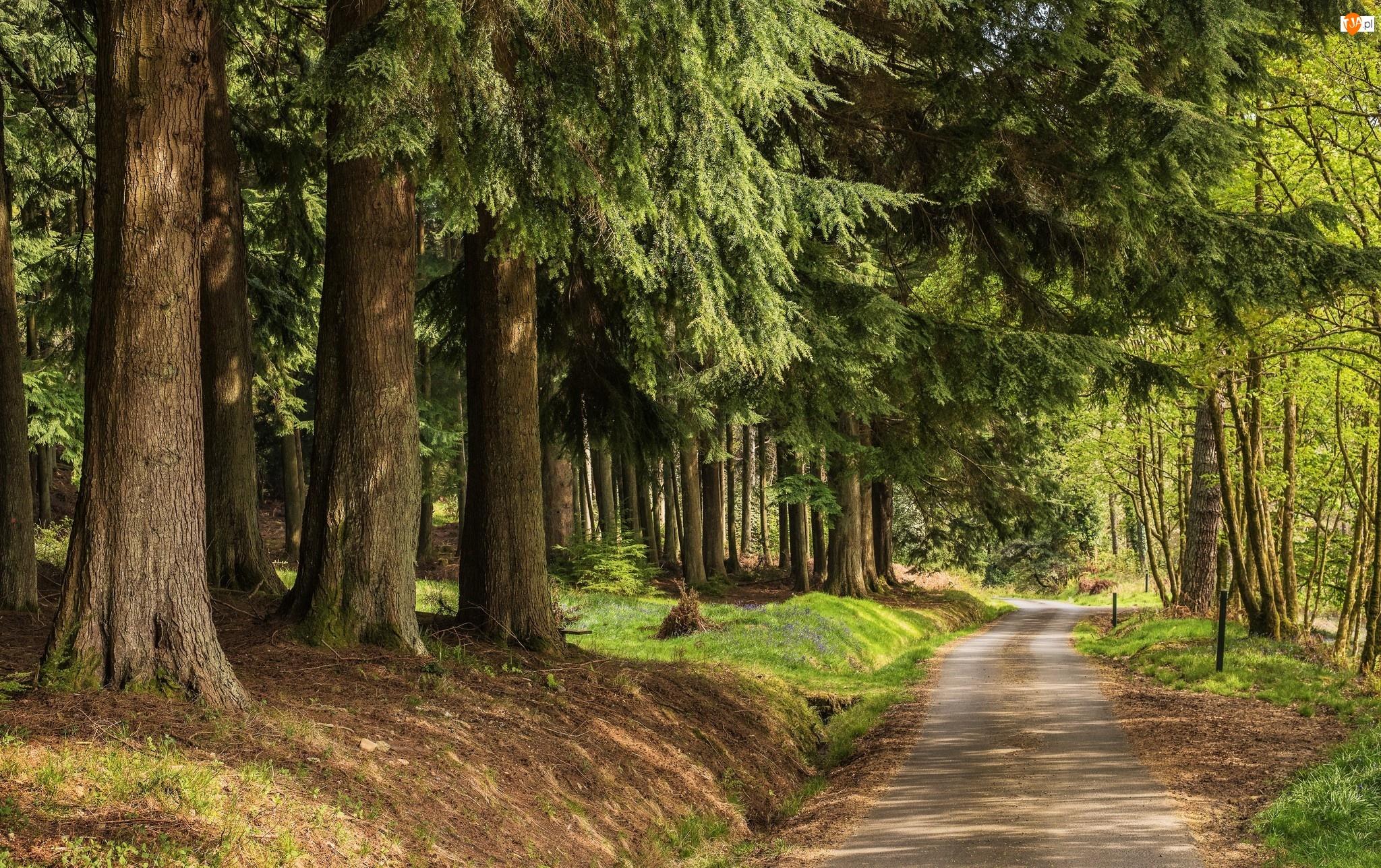 Droga, Las, Drzewa iglaste