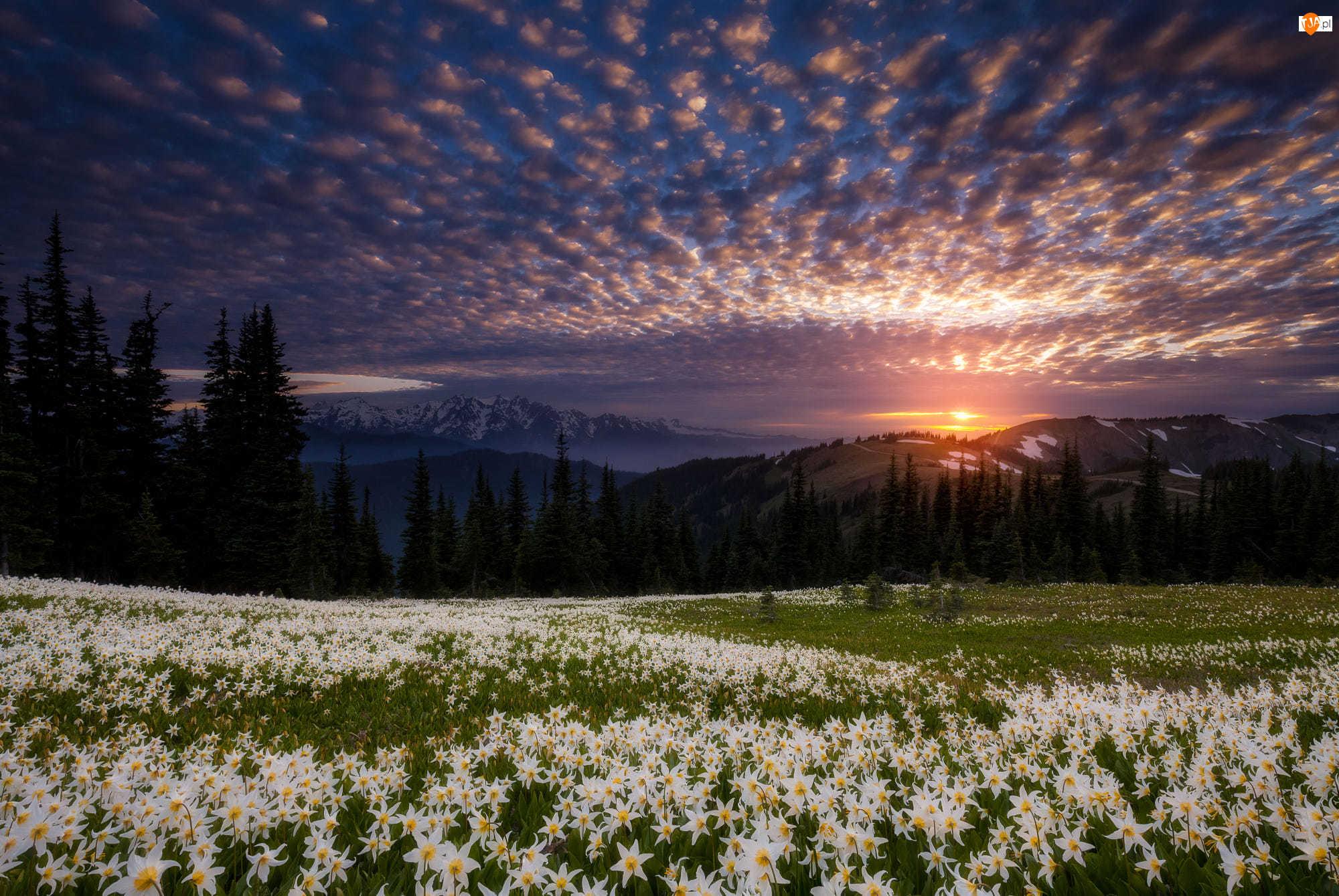 Kwiaty, Góry, Psizęby, Stan Waszyngton, Zachód słońca, Stany Zjednoczone, Drzewa, Park Narodowy Olympic, Lasy