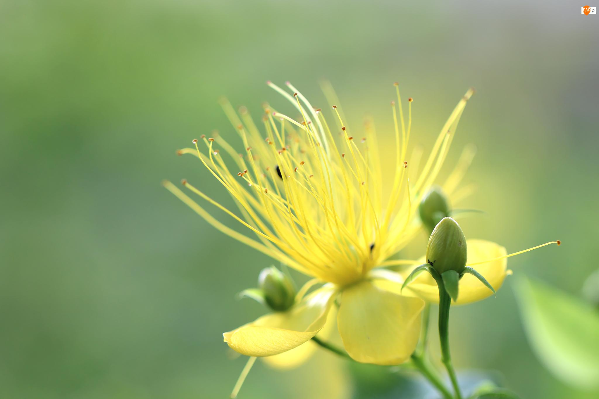 Pręciki, Dziurawiec, Kwiat, Żółty, Pąk
