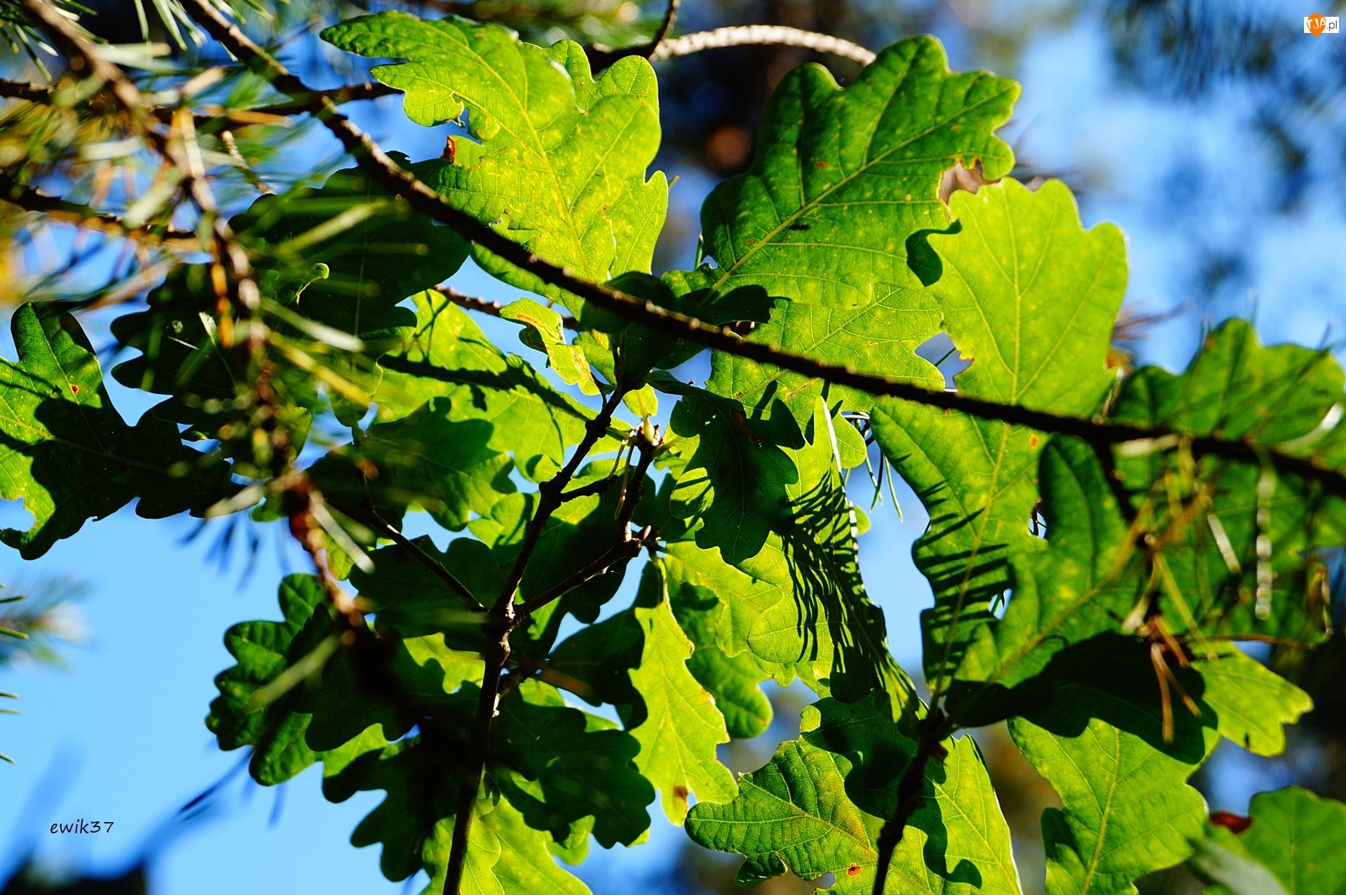 Liście, Drzewo, Dąb