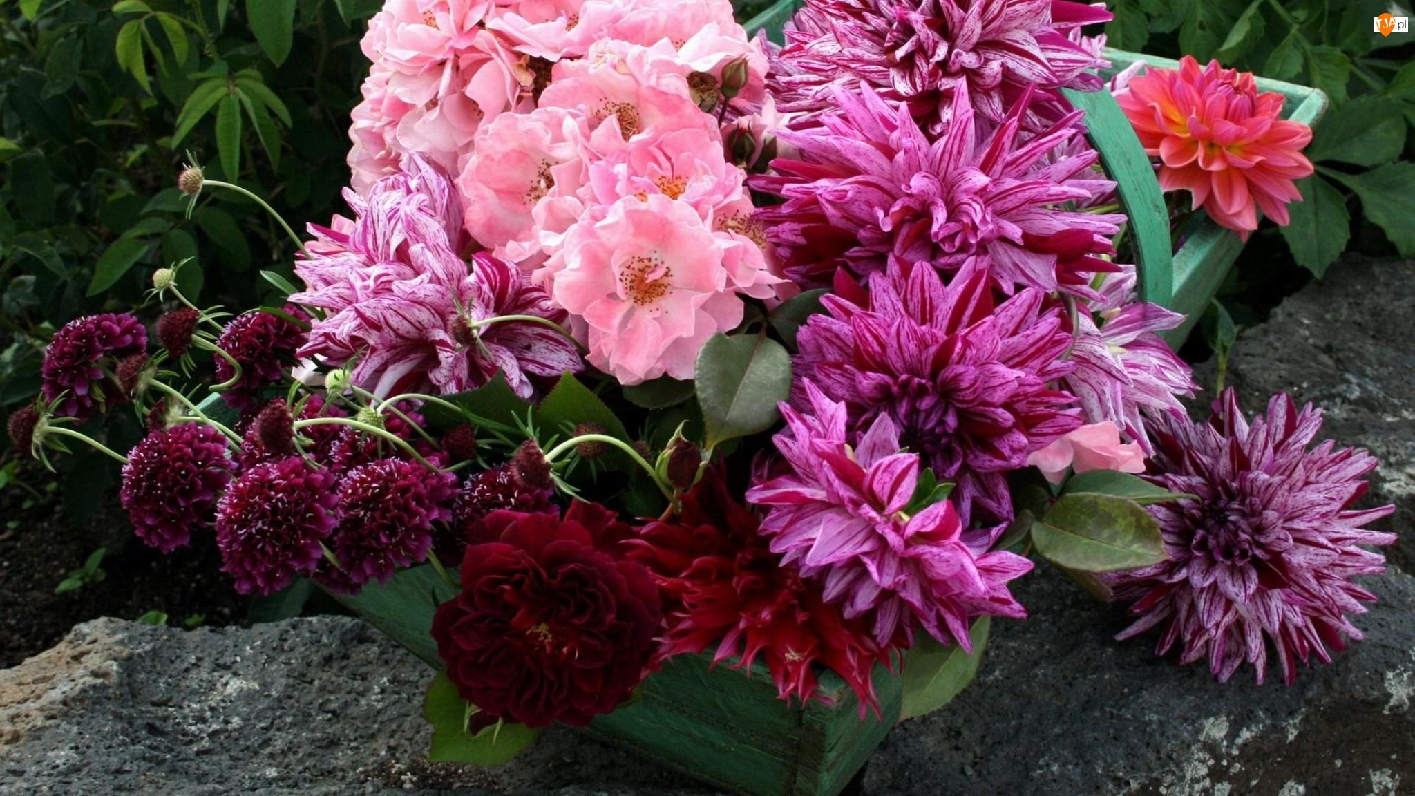 Kwiaty, Dalia, Chryzantemy, Róże