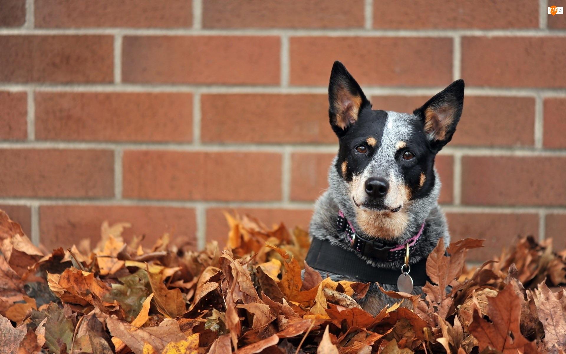 Mur, Australian cattle dog, Liście