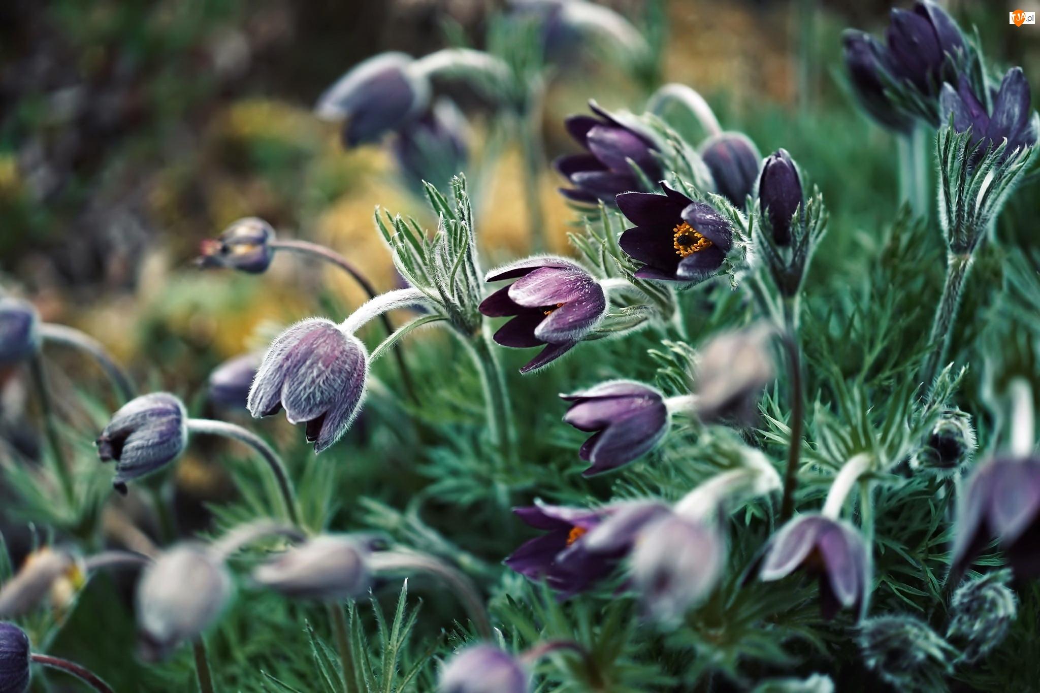 Kwiatki, Fioletowe, Sasanki