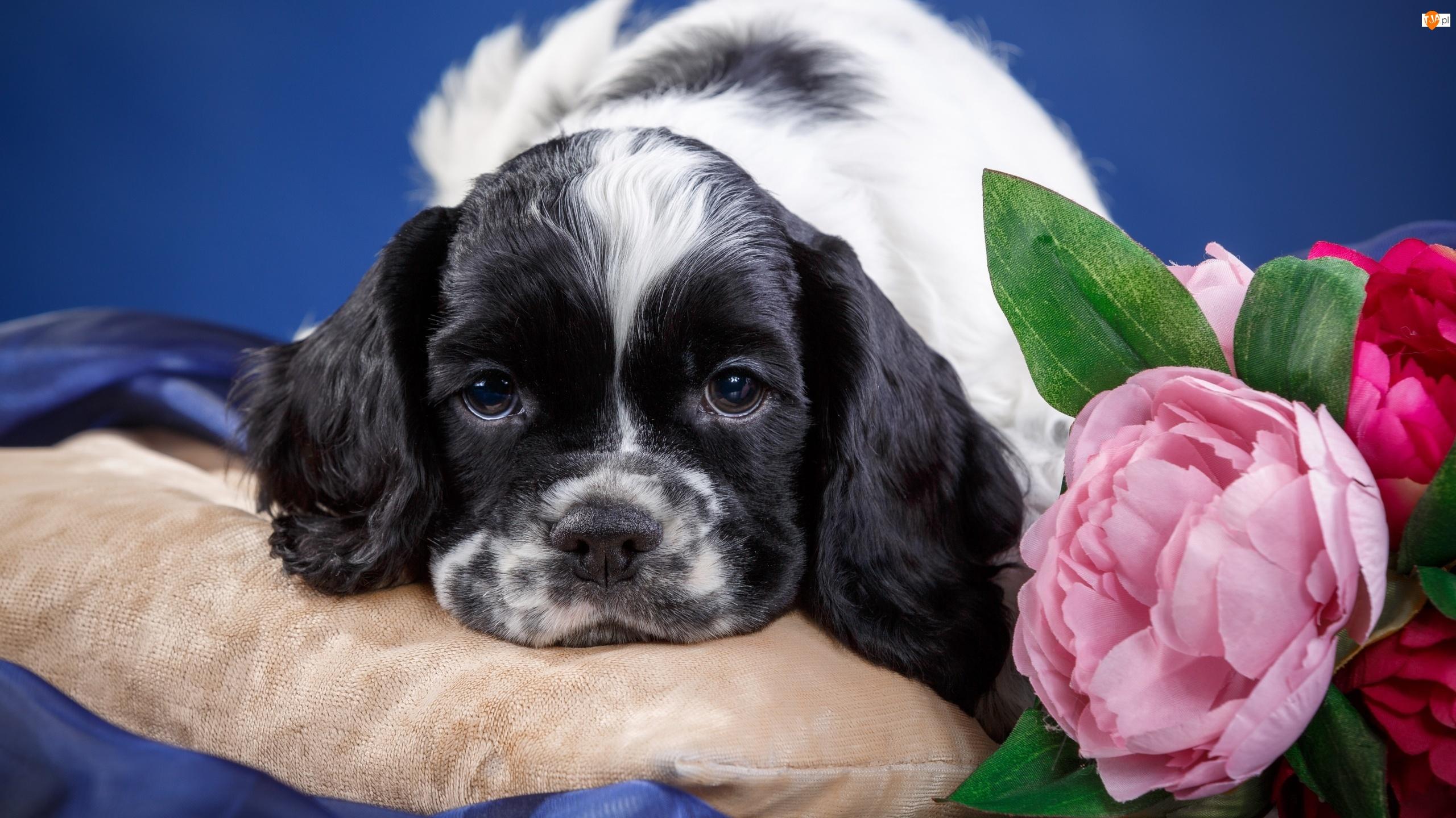 Kwiaty, Pies, Cocker spaniel amerykański, Szczeniak, Poduszka