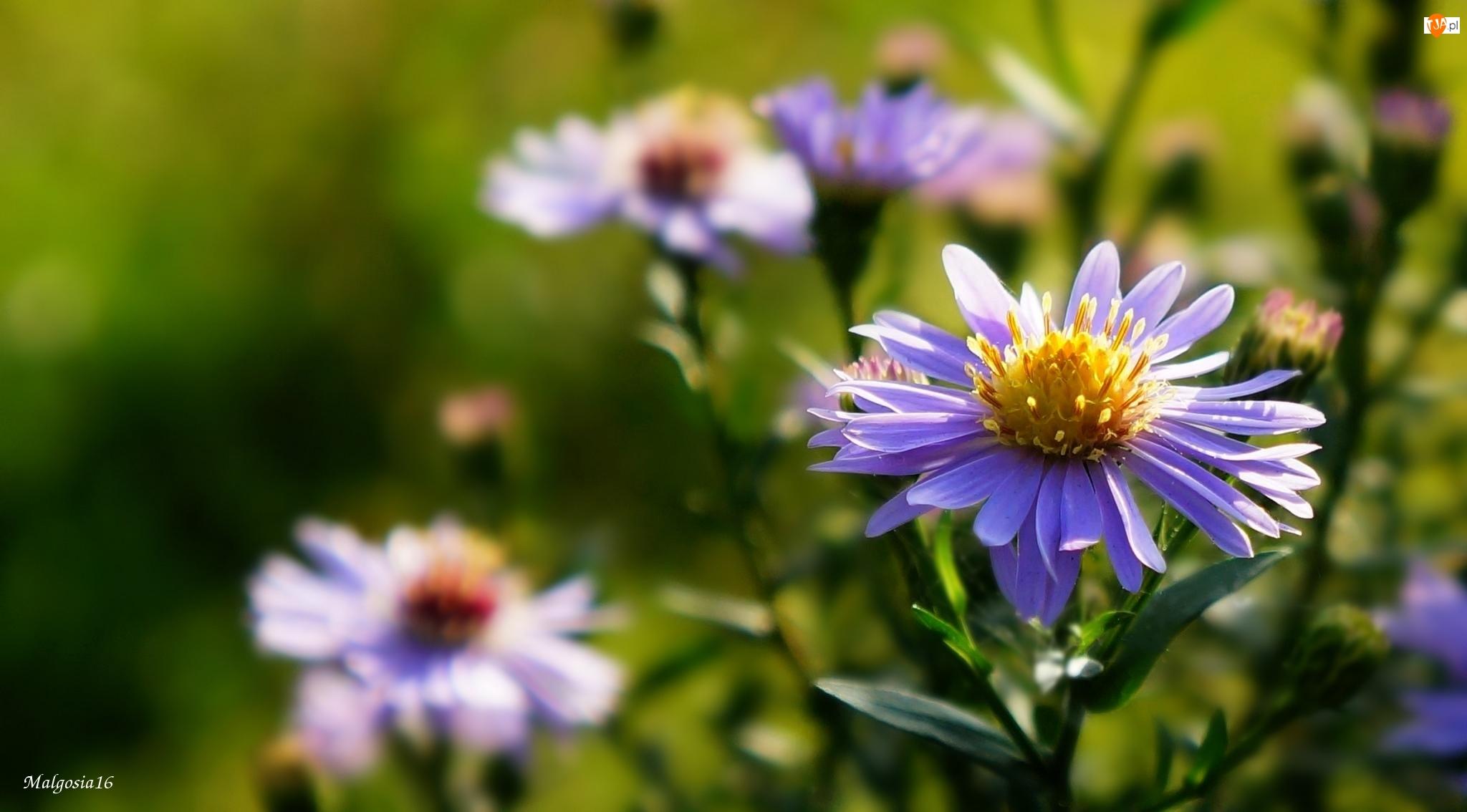 Astry marcinki, Fioletowe, Kwiaty