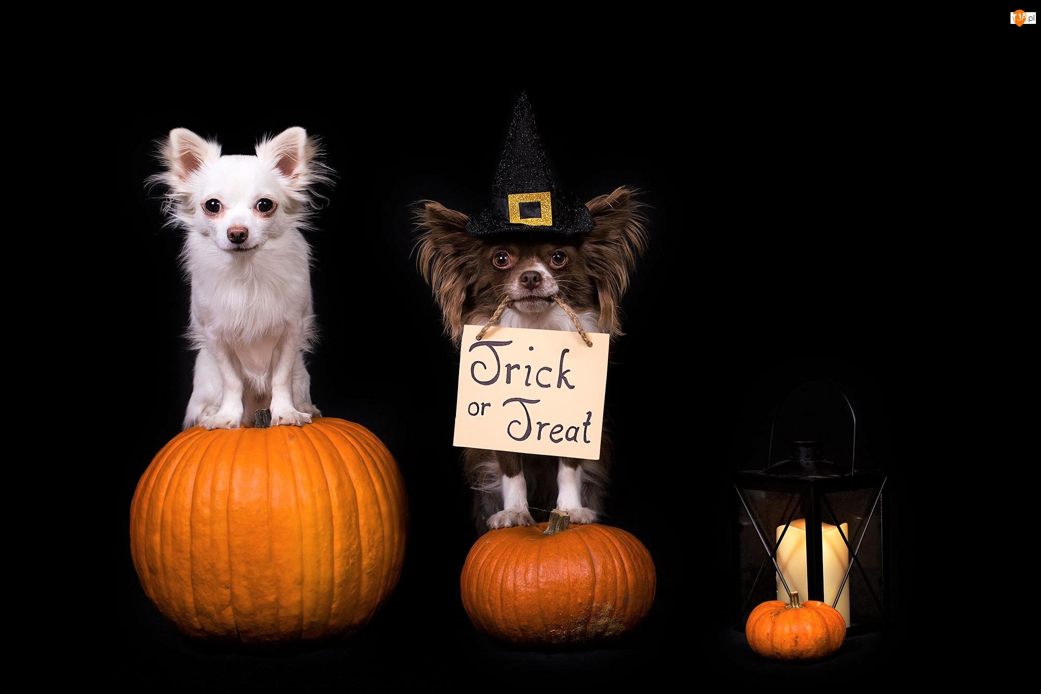 Halloween, Psy, Dynie, Chihuahua, Lampion